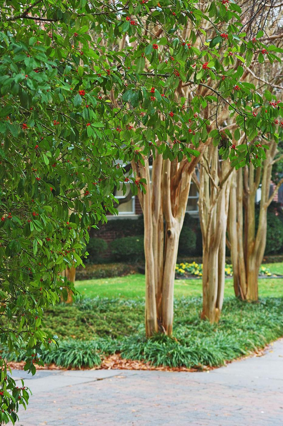 """Winter landscapes look good when they include bones, berries and bark. This scene has all three, with American holly and its plentiful red berries in the foreground, the smooth, shiny bark of crape myrtles, and the deep, dark greens of the bushes, which serve as the """"bones,"""" or structural foundation, of the garden."""