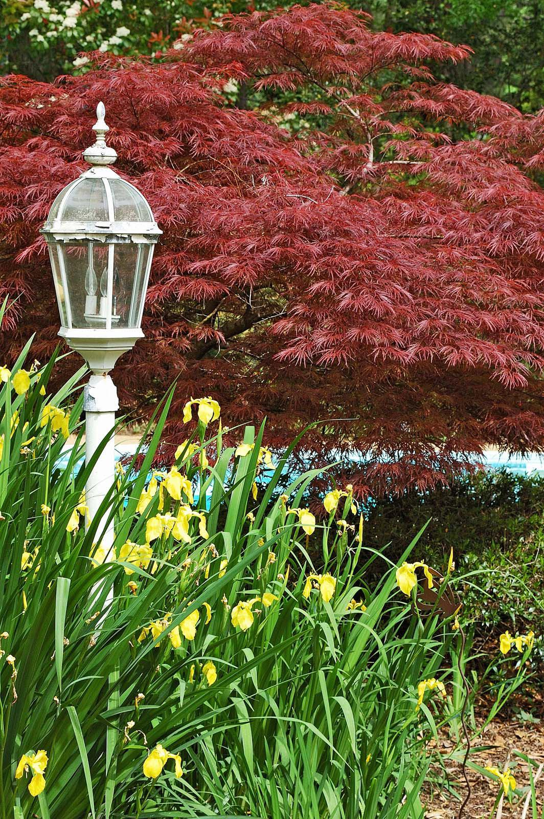 A Crimson Queen Japanese maple forms a brilliant backdrop for this yellow flag iris bed, which is set off by the white lamp. (Photo by Norman Winter)
