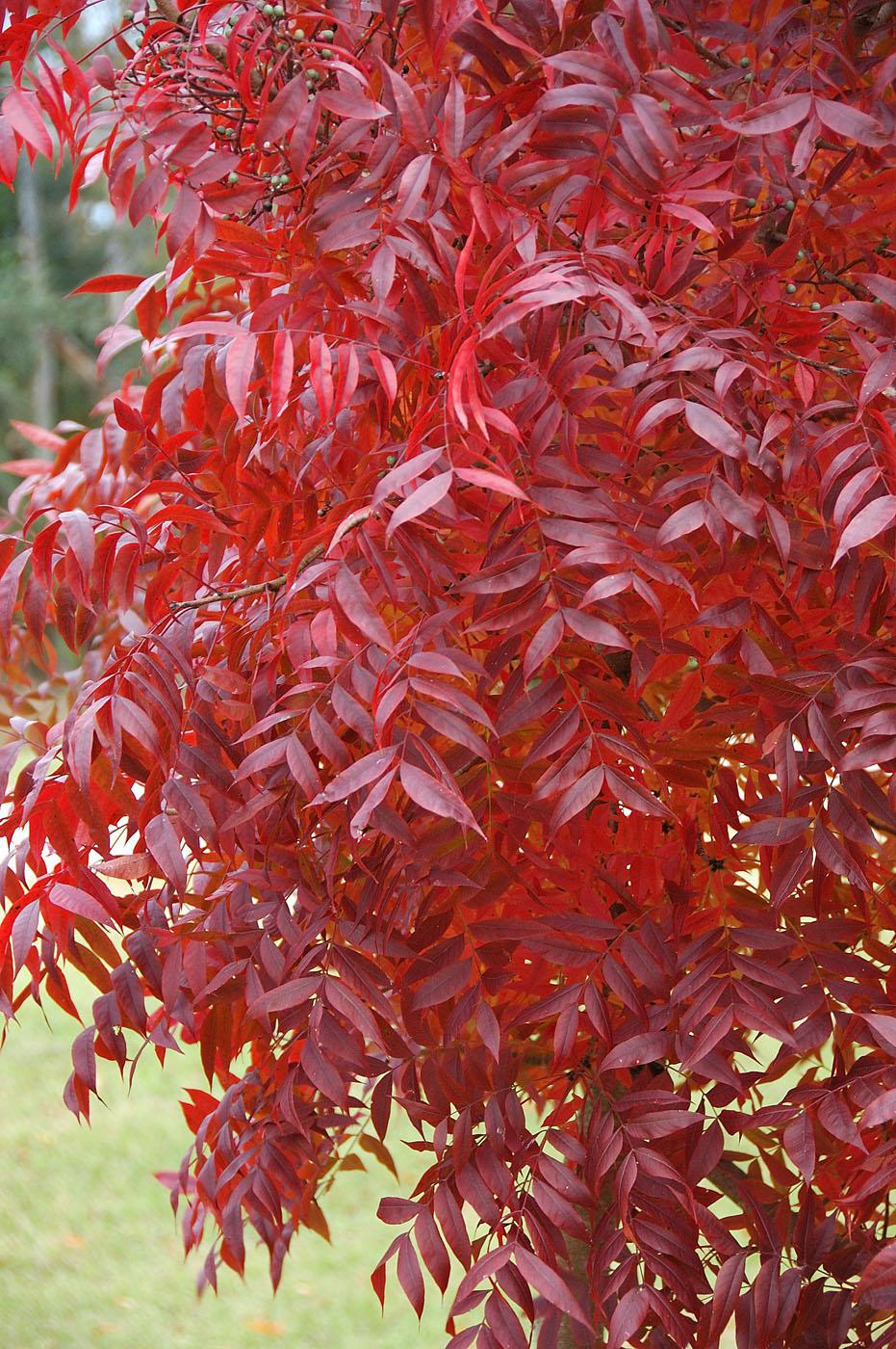 The Chinese pistache offers leaf texture similar to the sumac, along with stunning yellow, orange and red fall color on a tree that is basically indestructible. (Photo by Norman Winter)