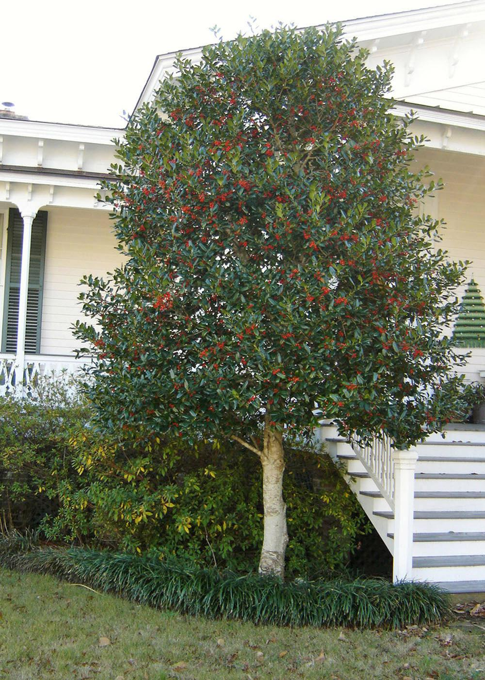 A Nellie R. Stevens holly provides pleasing winter color to this home landscape, holding its abundant fruit through the dreary winter months. (Photo by Jeff Wilson)