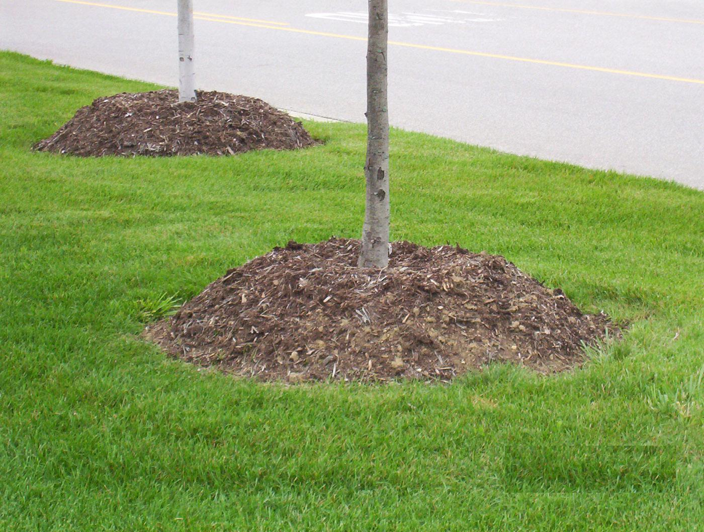 Typical mulch volcanoes have been formed high around the base and trunk of these trees. This thick layer of mulch is bad for the trees and can cause bark decay, root circling, and other problems. (Photo by Gary Bachman)
