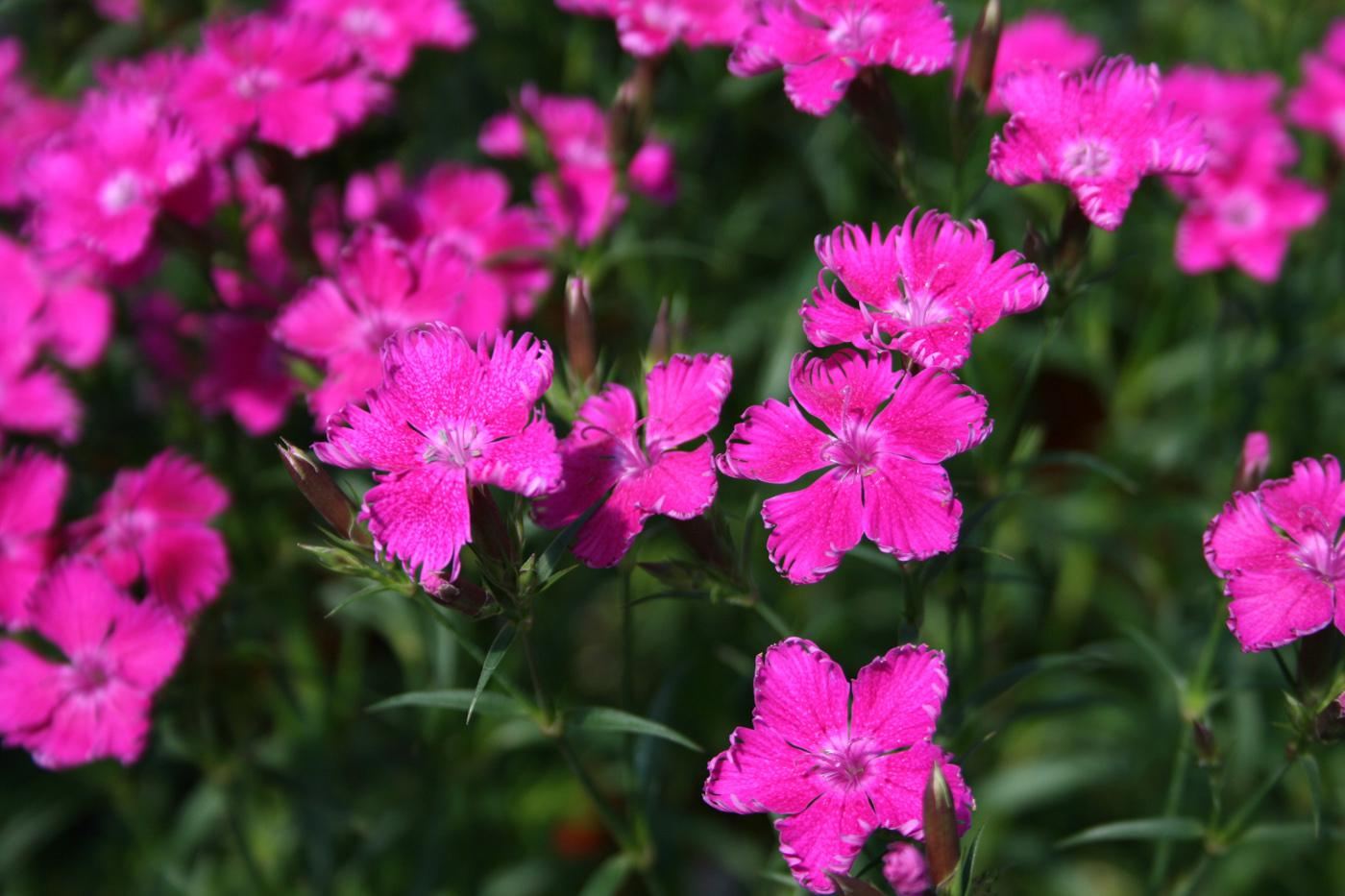 The flowers of Bouquet Purple dianthus are a vivid, dark pink with petals having tattered, upturned margins. The stems are up to 18 inches long, making these a great choice for cut flowers.  (Photos by Gary Bachman)