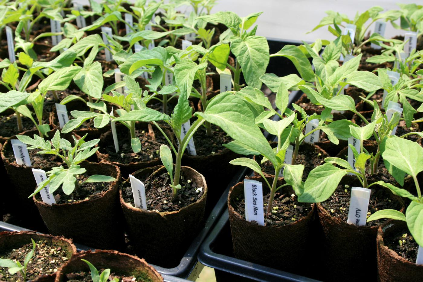 Heirloom tomatoes sometimes suffer more from environmental influences than their hybrid cousins. Therefore, it is important to pick good performers for the hot and humid Mississippi climate. Luckily, there are many varieties to choose from. (Photo by MSU Extension Service/Gary Bachman)