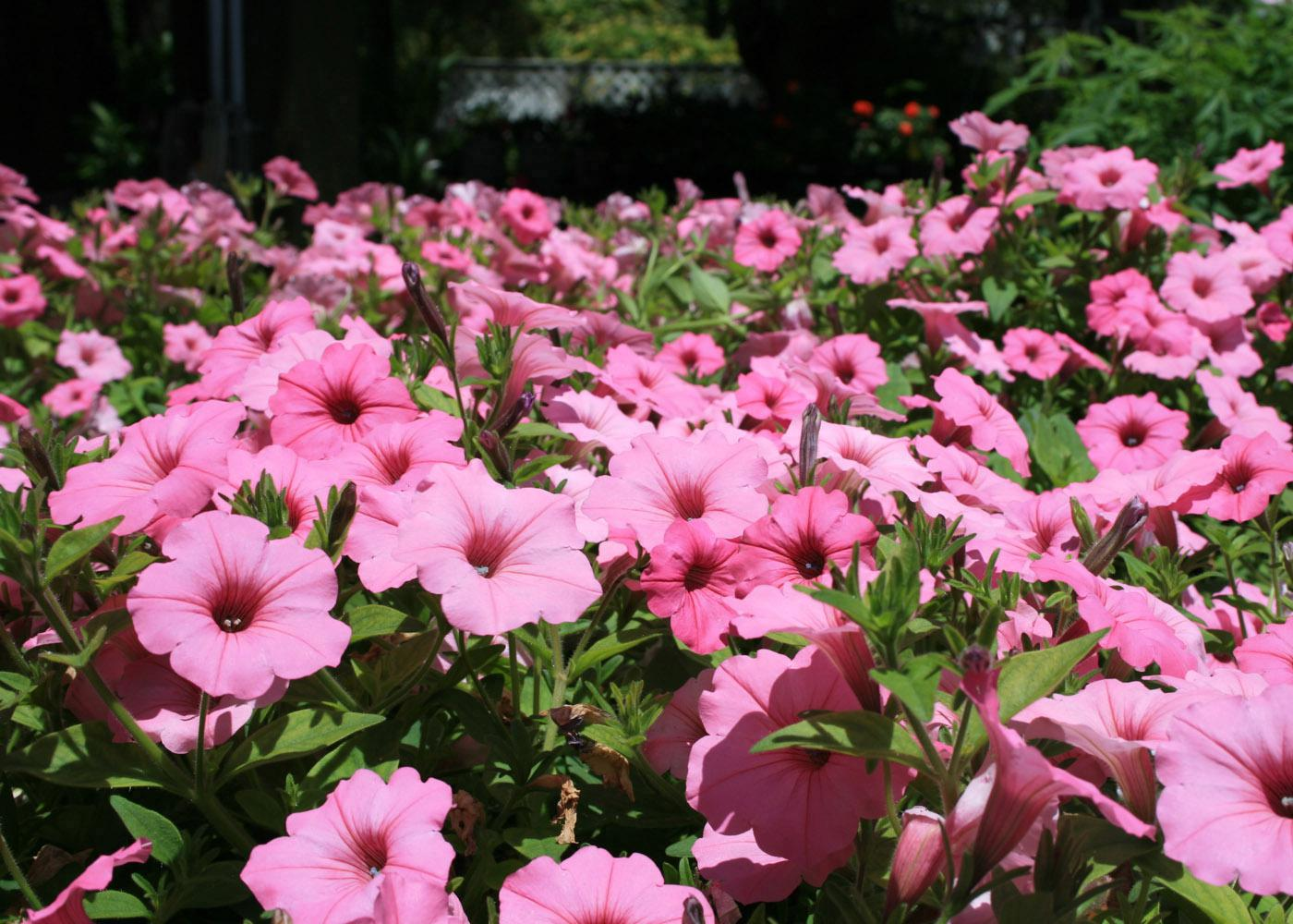 The Vista Bubblegum Supertunia is a clear, bright pink that pairs well with the red and purple Vista  Fuchsia.