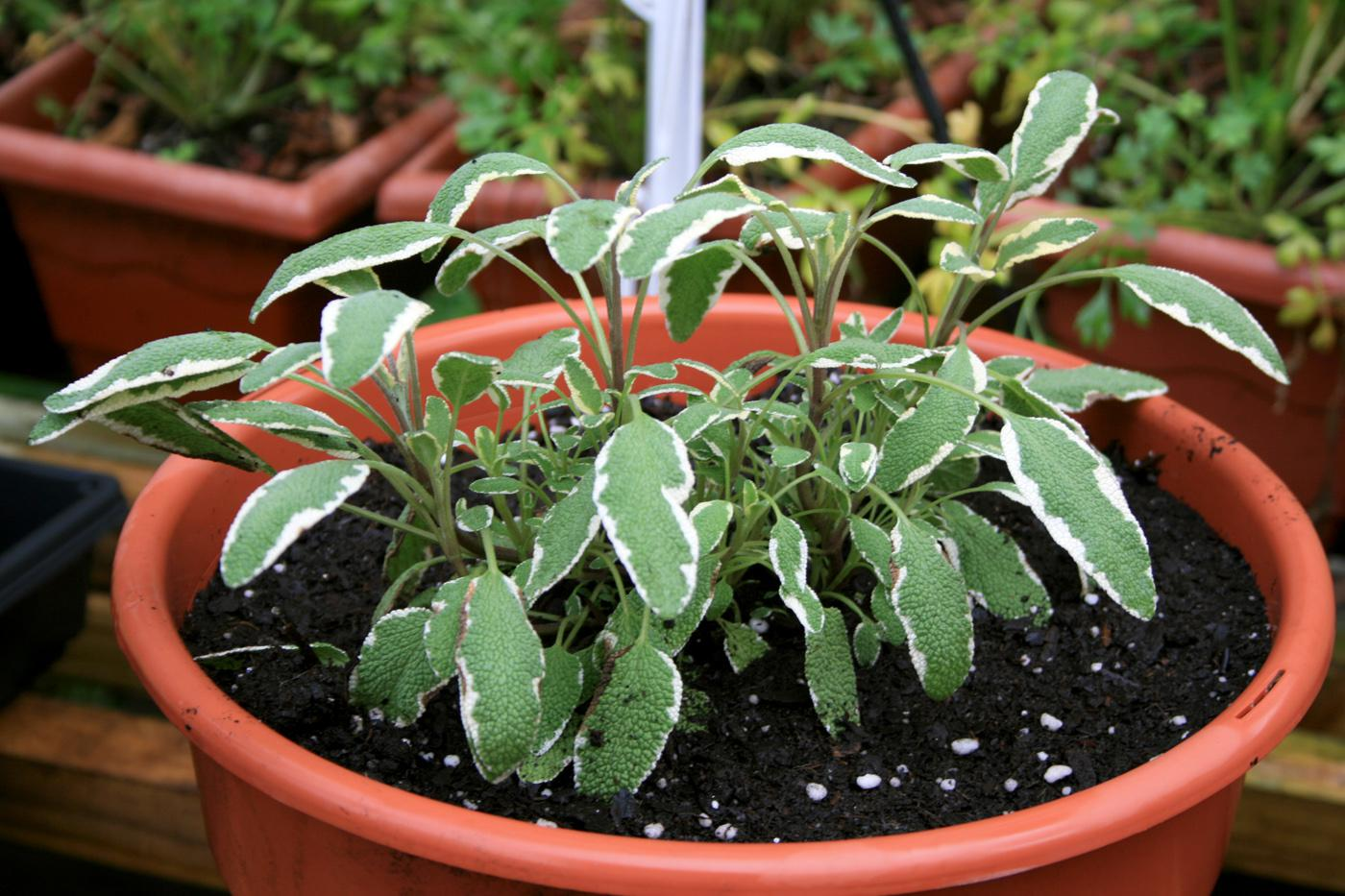 The green leaves with white margins of Tricolor, a type of sage, make it an attractive choice for a fall herb garden. (Photo by Gary Bachman)