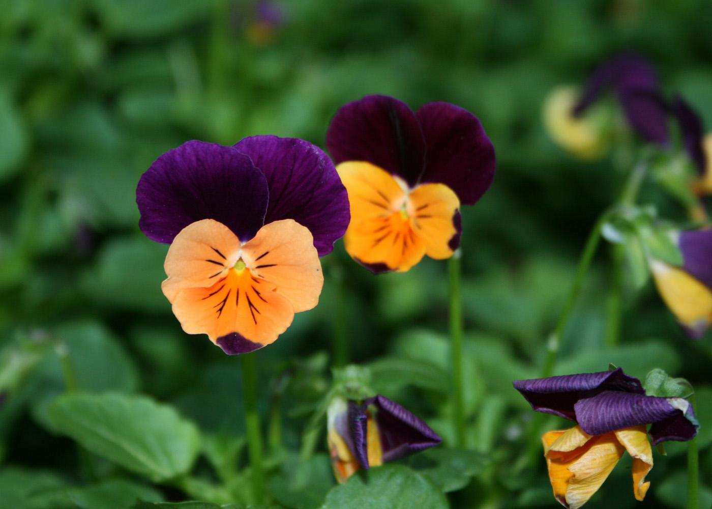 Violas come in gorgeous colors and last from Thanksgiving through Easter. The Sorbet series has a seemingly limitless selection of colors, such as Sorbet Orange Duet, a beautiful orange and purple bicolor.