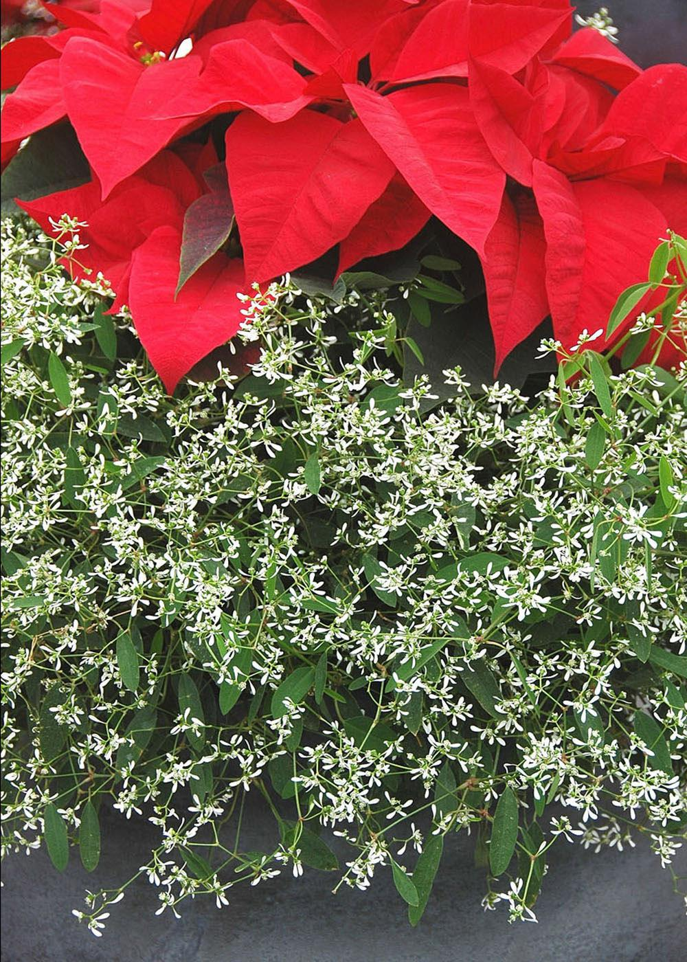 A poinsettia combined with the Mississippi Medallion winner Diamond Frost euphorbia looks like it is growing on a bed of frost. (Photo by Norman Winter)