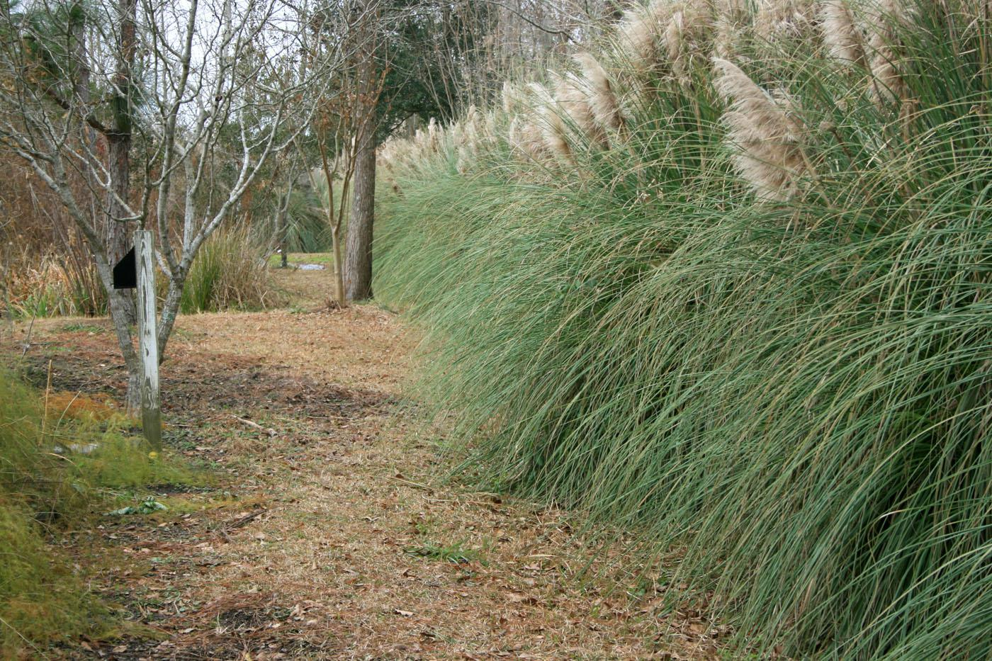 Living screens can block out unpleasant views in landscapes in ways not possible with fences or walls. This row of pampas grass is green and full, even in the winter. (Photo by Gary Bachman)