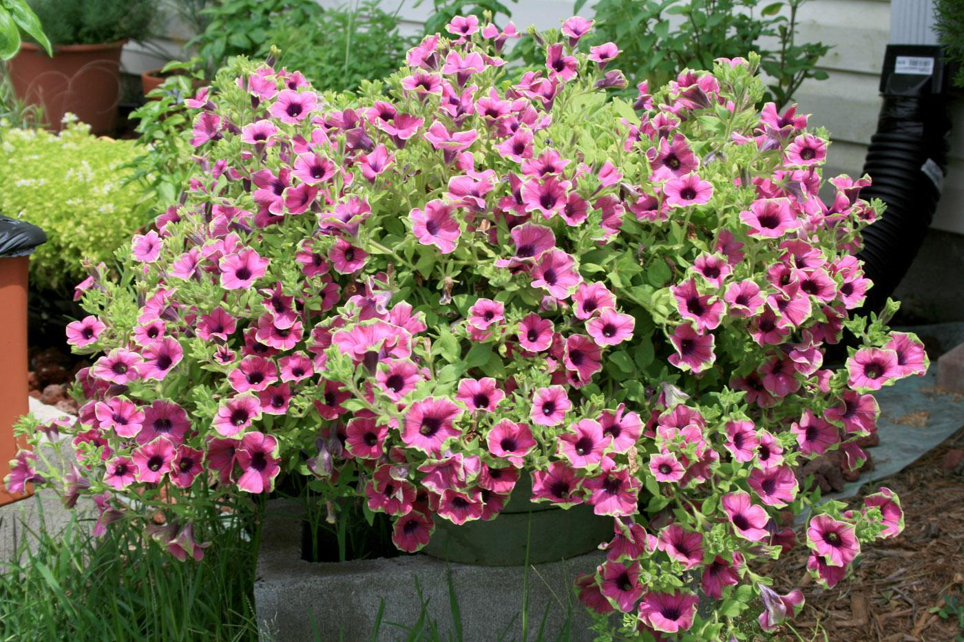 This Pretty Much Picasso petunia looks great because it is growing in high-quality potting mix. (Photo by Gary Bachman)