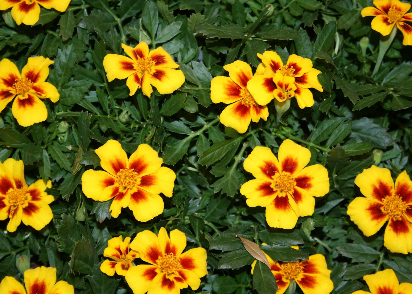 Disco Marietta is a single-flowered marigold that has yellow-orange petals featuring deep mahogany red splotches that look like paint brush strokes at the base of the flower.