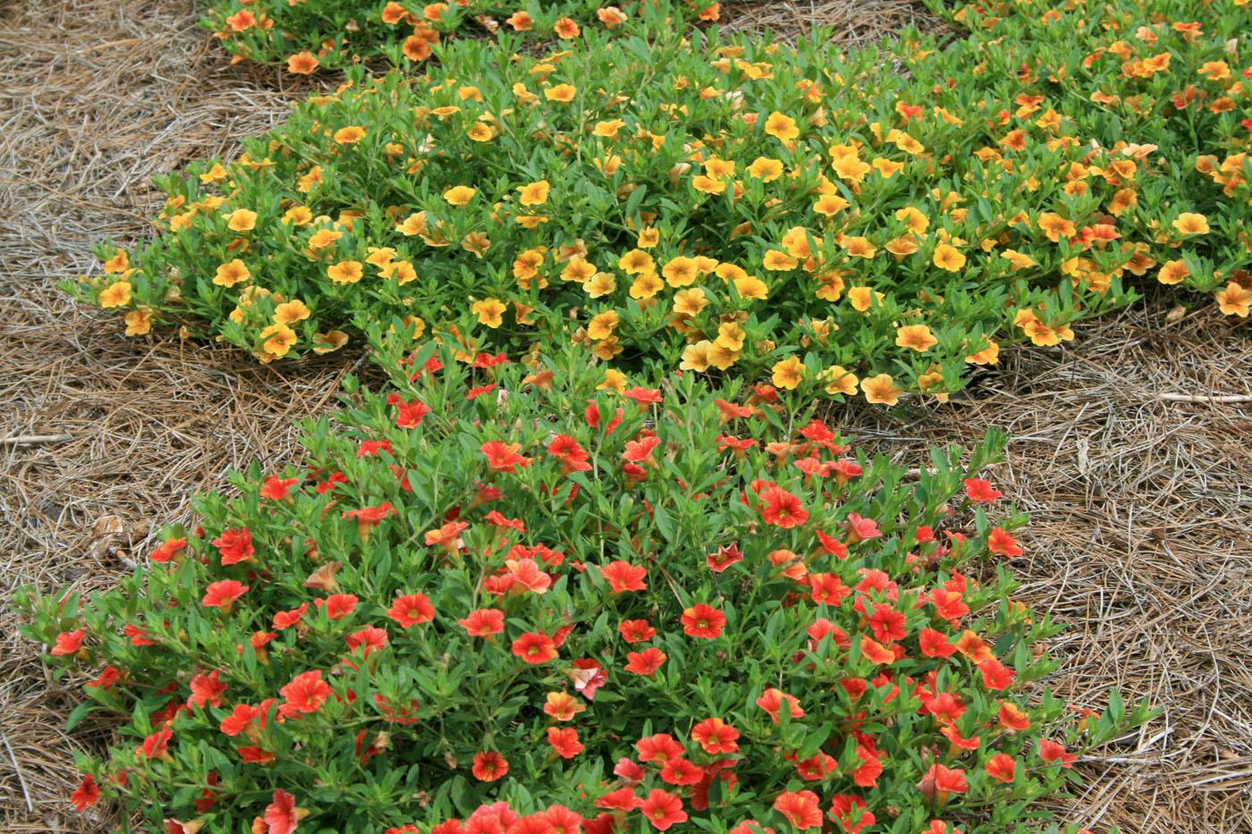 Million Bells CanCan Terra Cotta and Orange spread to fill in open spaces in the landscape.