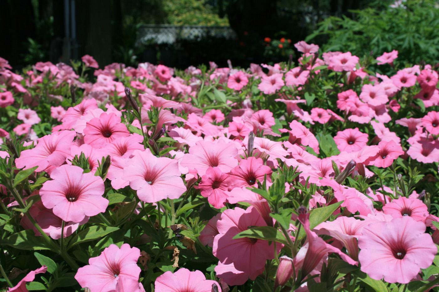 Using organic soil amendments can produce beautiful flowering displays, such as these Vista Bubblegum Petunia Supertunias. (Photo by Gary Bachman)