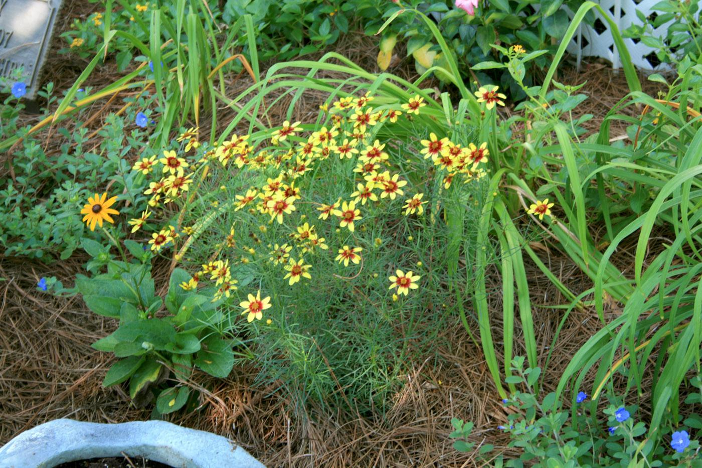 The landscape performance of Coreopsis verticillata, such as this Route 66 selection, makes these plants outstanding choices for season-long color. (Photo by Gary Bachman)