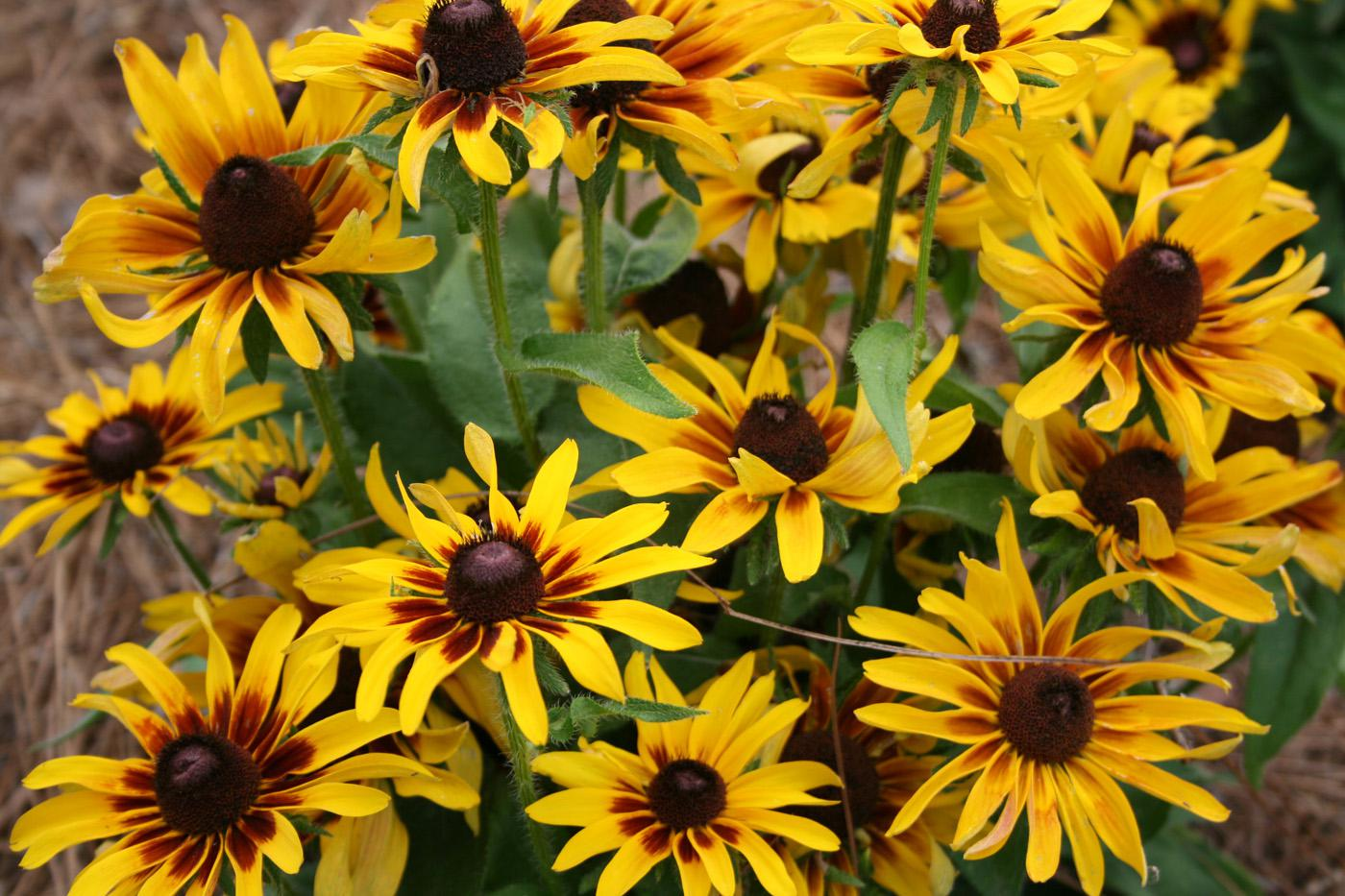 The golden yellow petals and dark red halo of Denver Daisy rudbeckia make a bright statement in the summer landscape. (Photo by Gary Bachman)