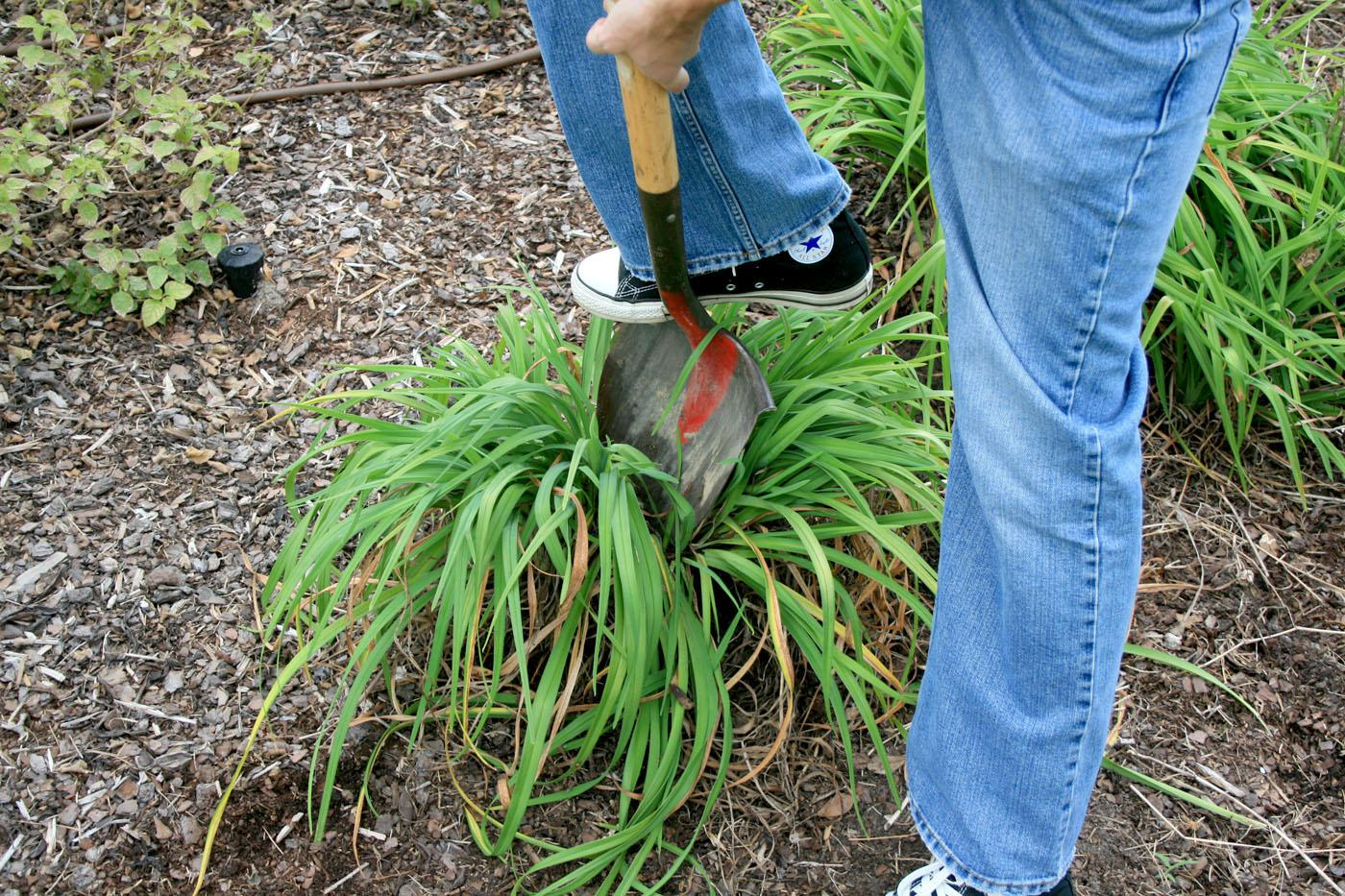 A sharp shovel can be used to divide some perennials, such as this daylily clump being split in half. (Photo by Gary Bachman)