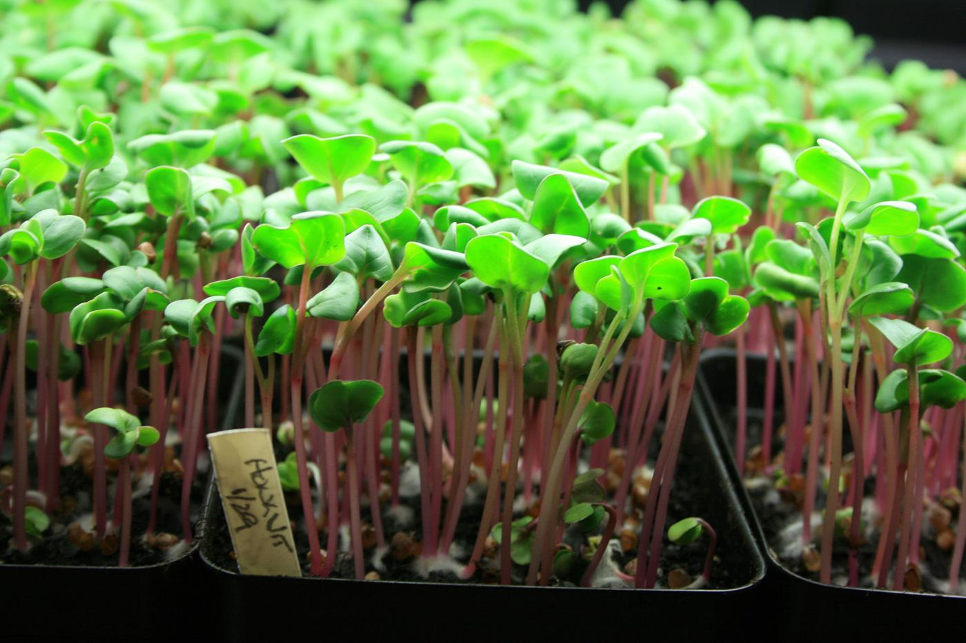 Grow microgreens, such as these Hong Vit radishes, to enjoy winter gardening and keep fresh greens on the table.