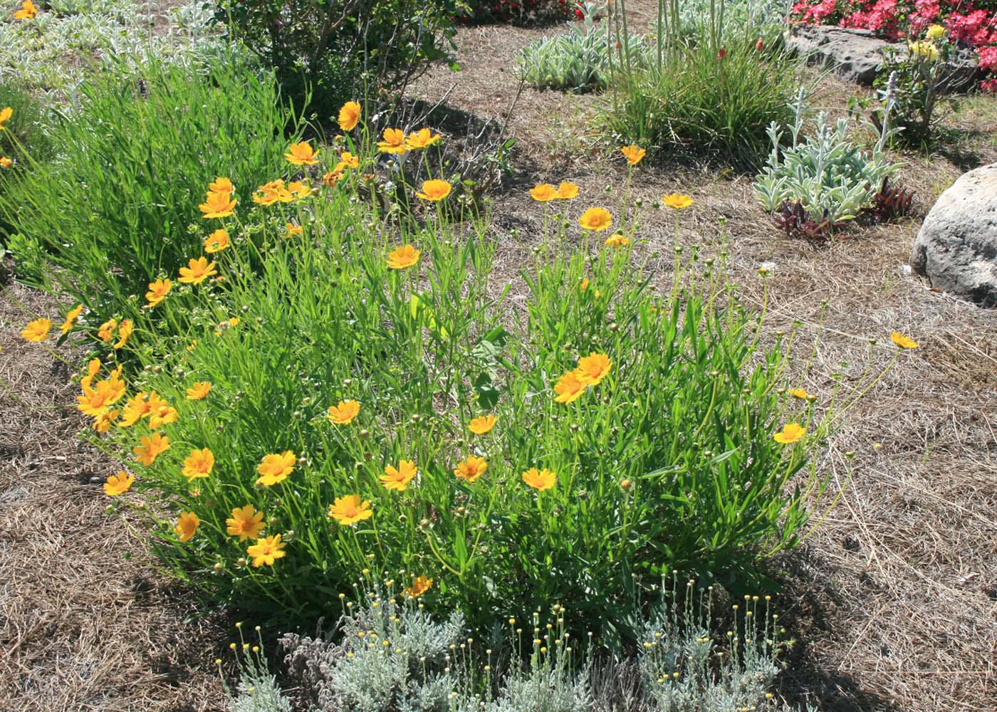 Coreopsis grandiflora is a good choice for hot and dry planting locations, but provide consistent soil moisture to enjoy the best flowering performance. (Photo by MSU Extension Service/Gary Bachman)