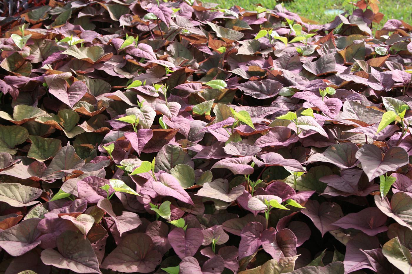 The Sweet Caroline ornamental sweet potato has two leaf shapes, cut-leaf and heart-shaped. Colors include bronze, green-yellow, light green, purple, red and black. (Photo by MSU Extension Service/Gary Bachman)