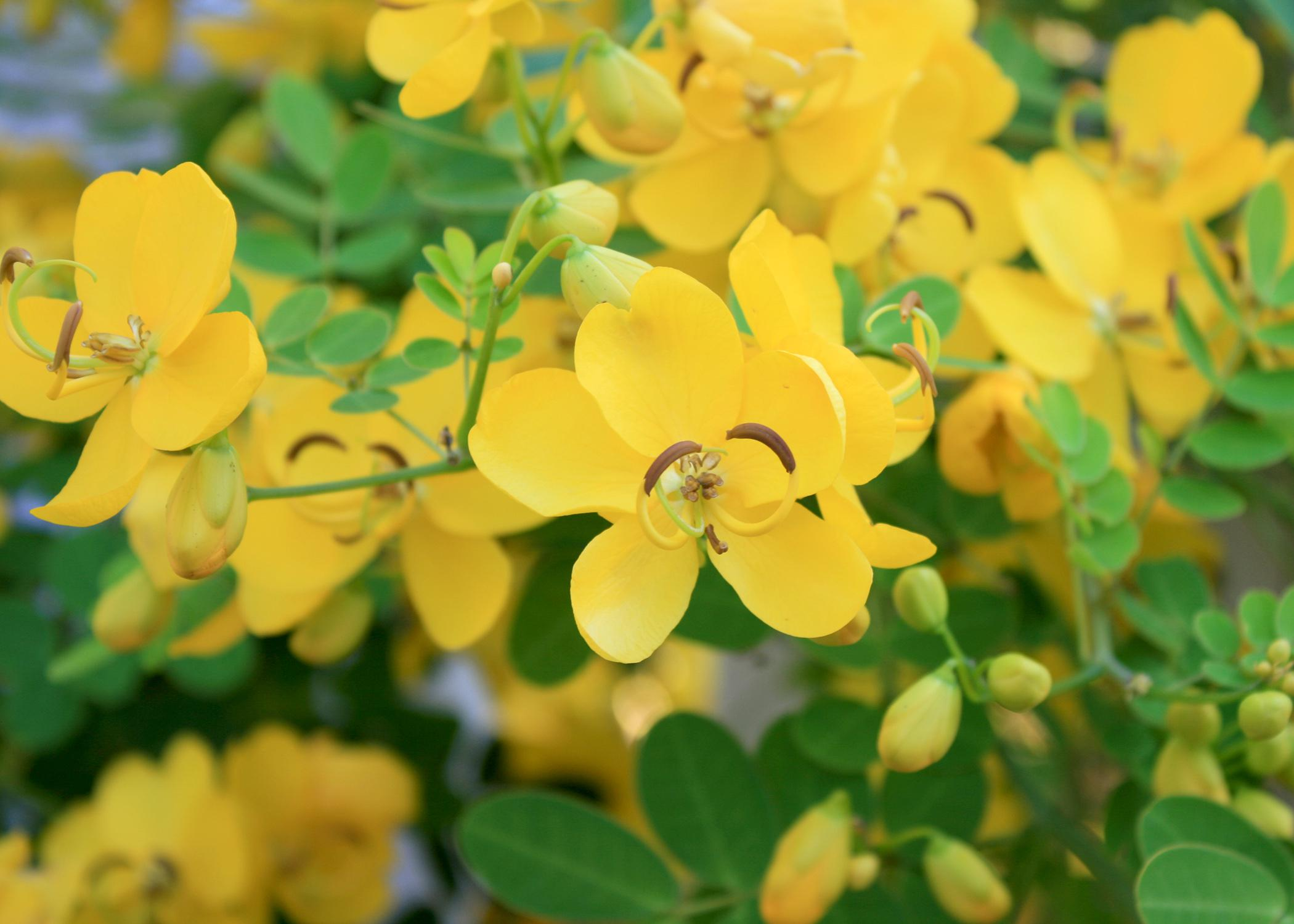Each spike-like cluster of winter cassia's golden yellow flowers has up to 12 individual blossoms. Flowers have five petals, and the curved shapes of the stamens and pistils add landscape interest. (Photo by MSU Extension Service/Gary Bachman)
