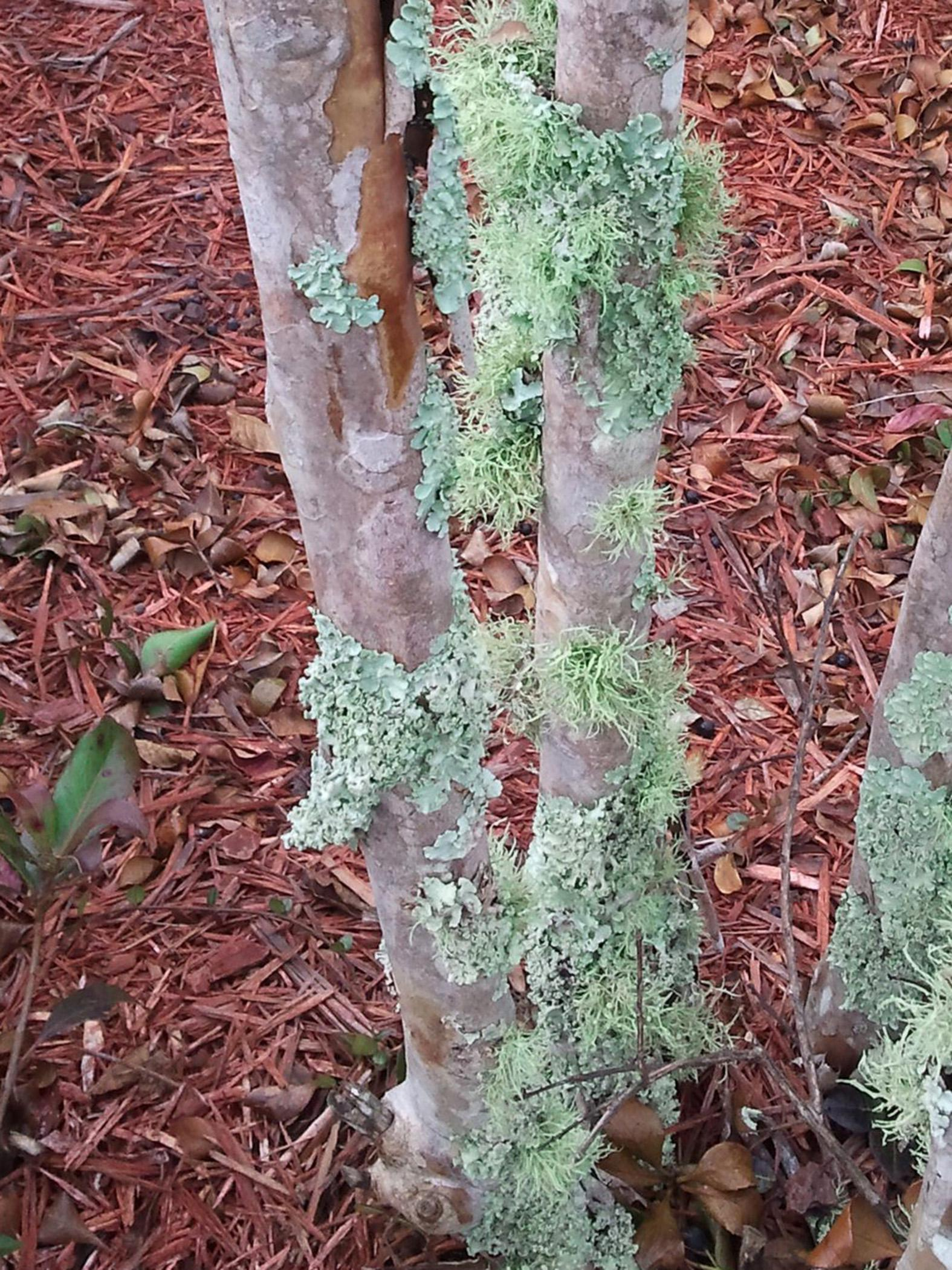 Lichens are an unlikely combination of fungi and algae that survive in a symbiotic relationship. They do not harm the plants on which they grow. Three main types of lichen are found on the bark of woody plants and on rocks and other hard surfaces. (Photo by MSU Extension Service/Gary Bachman)