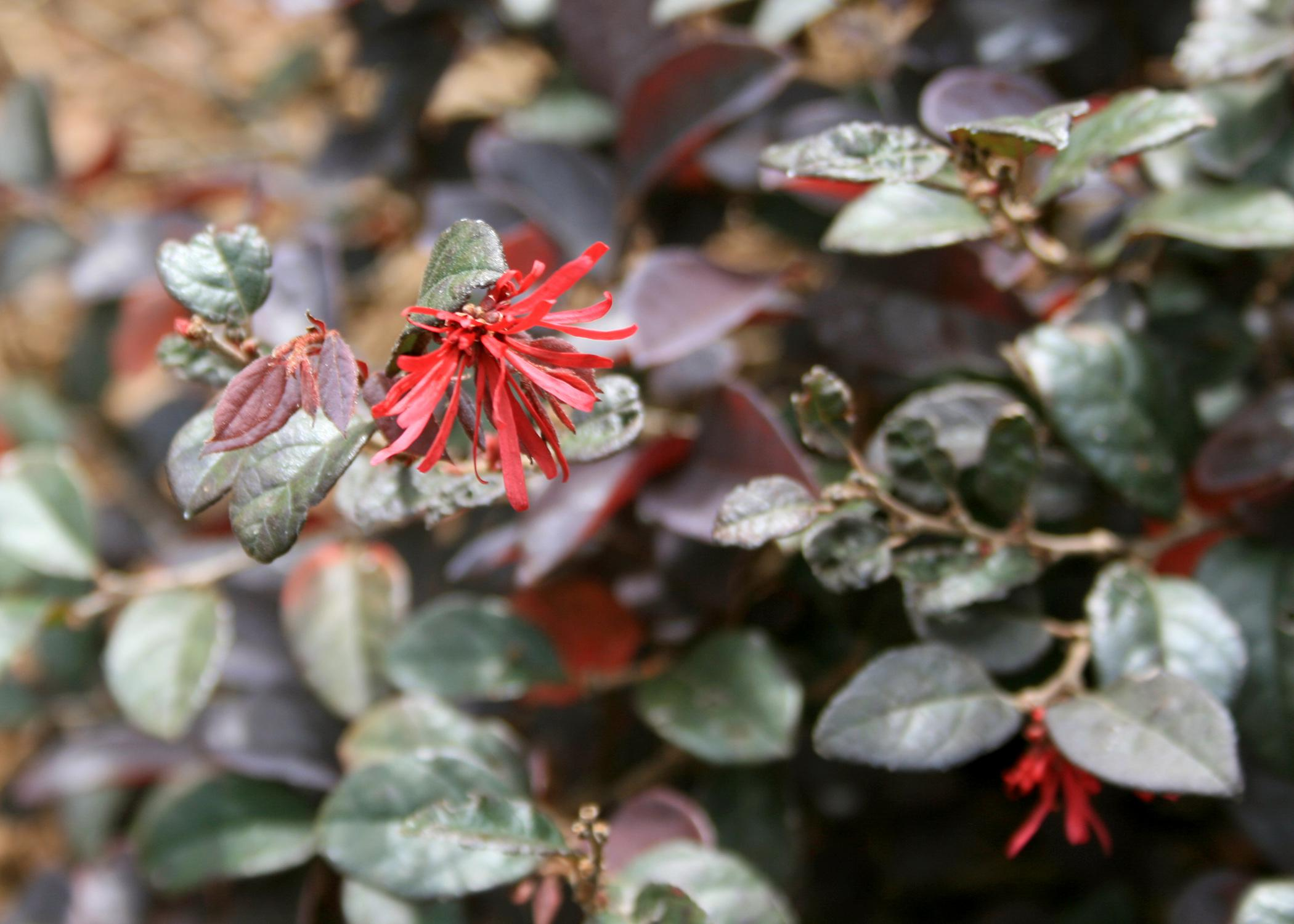 The strap-like flowers of loropetalum are reminiscent of witch hazel flowers. They bloom in early spring and sporadically through the rest of the summer. (Photo by MSU Extension Service/Gary Bachman)