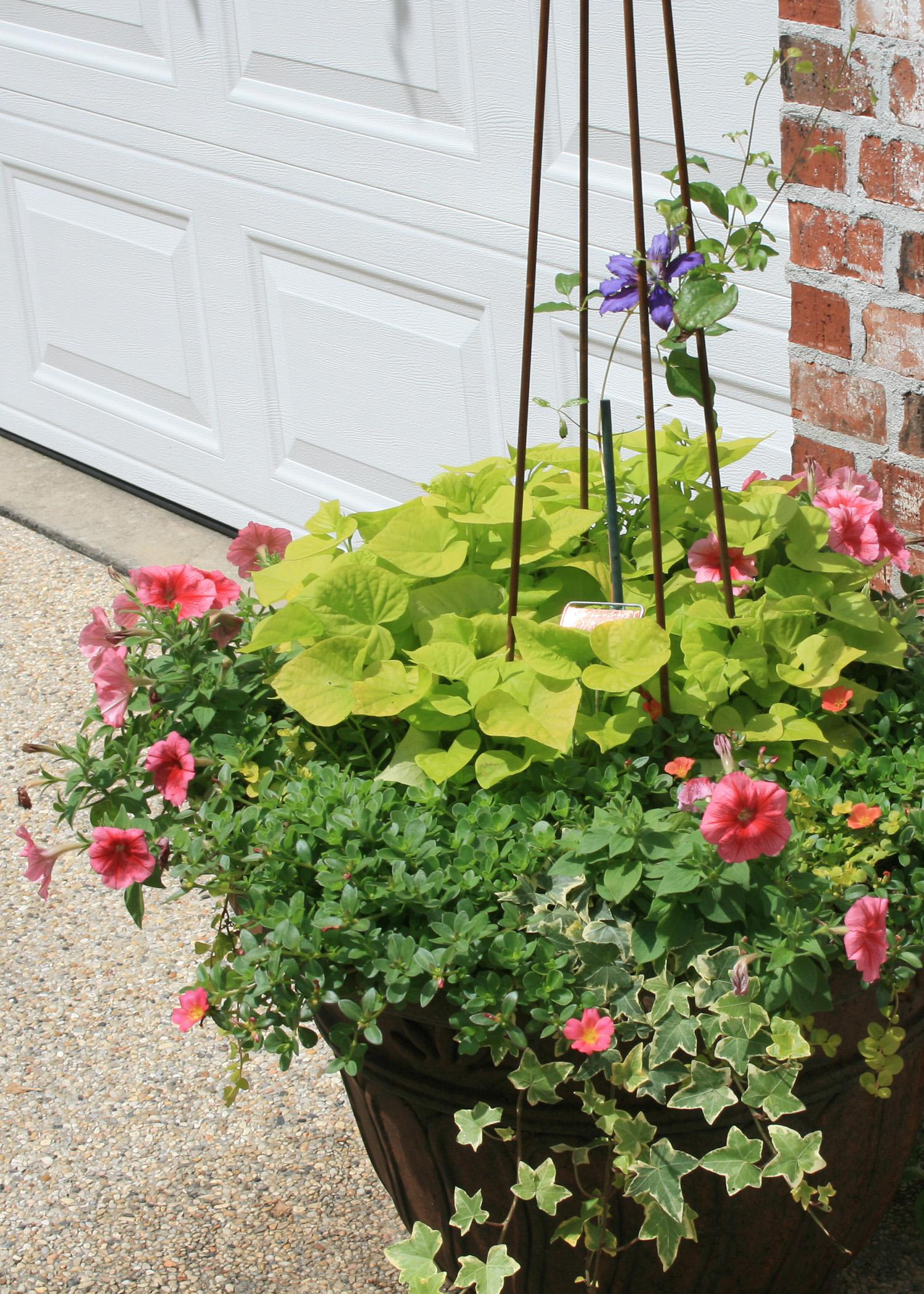 The salmon-colored Bermuda Beach Supertunia combines well with variegated ivy and the light green Sweet Caroline sweet potato vine. (Photo by MSU Extension Service/Gary Bachman)