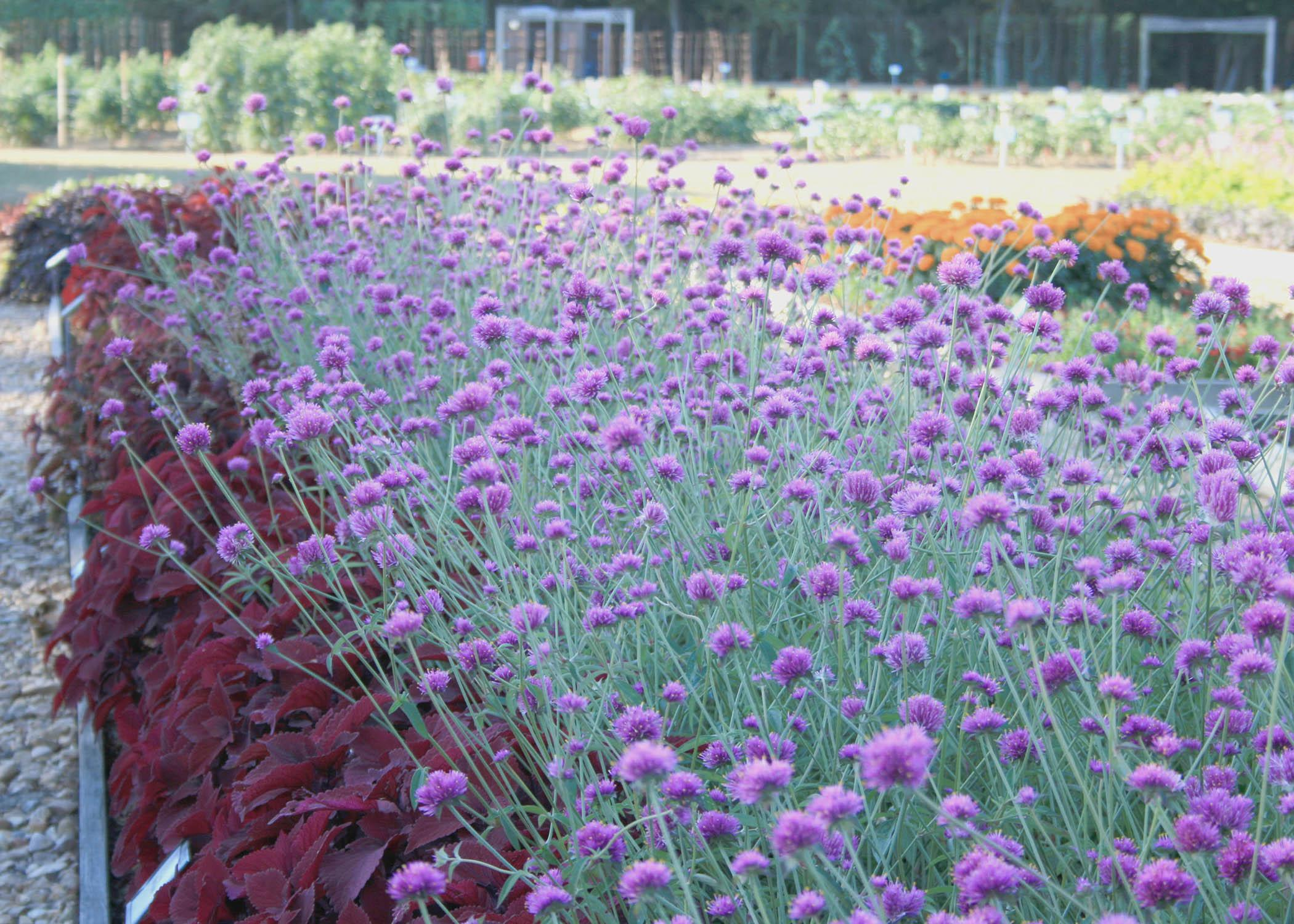 Fall-blooming flowers such as these Gomphrena Fireworks will be on display throughout the Fall Flower and Garden Fest Oct. 18-19 at Mississippi State University's Truck Crops Branch Experiment Station in Crystal Springs. (Photo by MSU Extension Service/Gary Bachman)