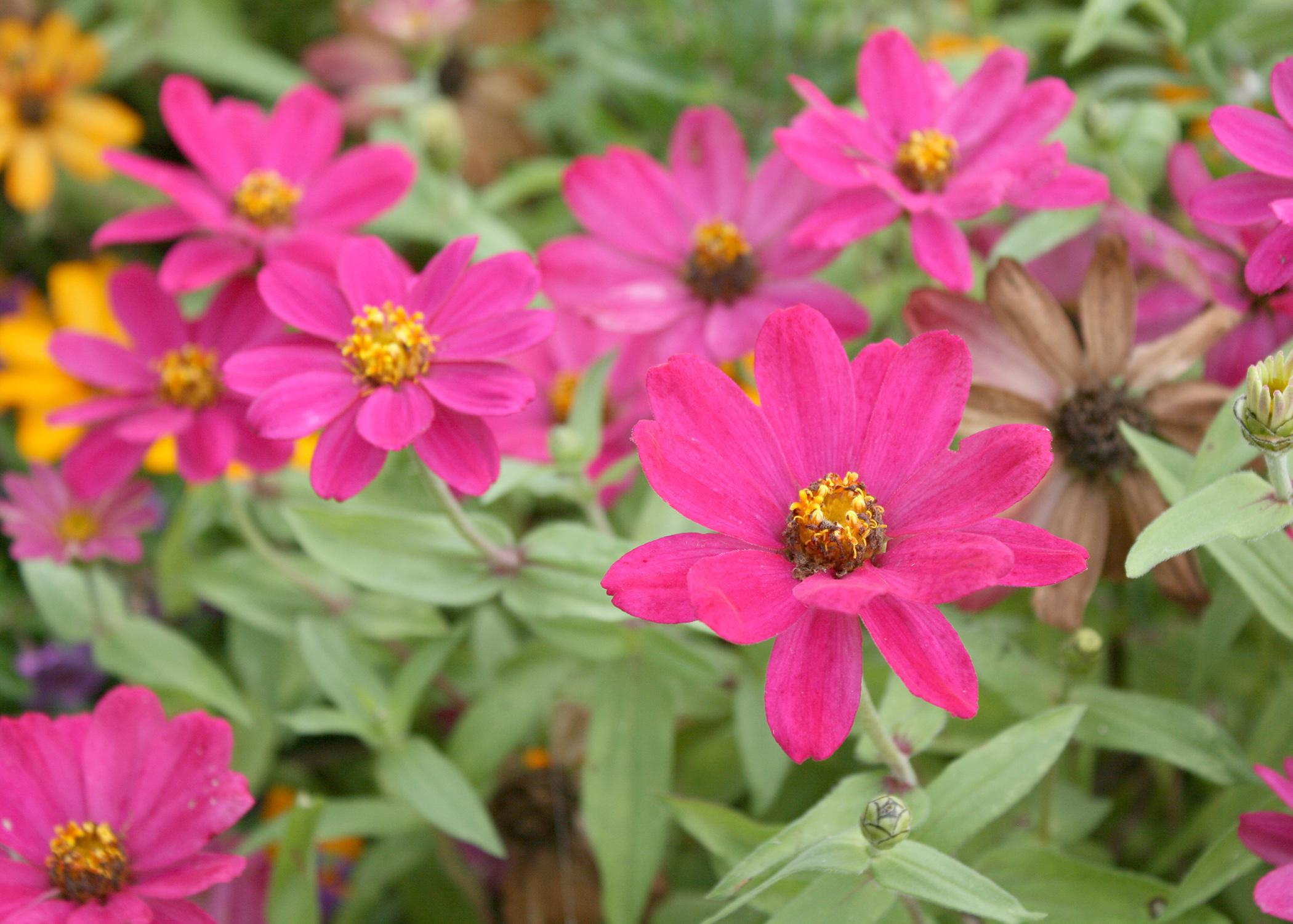 Zahara Cherry is a beautiful summer-blooming zinnia that gets a second wind in the fall and produces a new round of colorful blooms when given the chance. (Photo by MSU Extension Service/Gary Bachman)