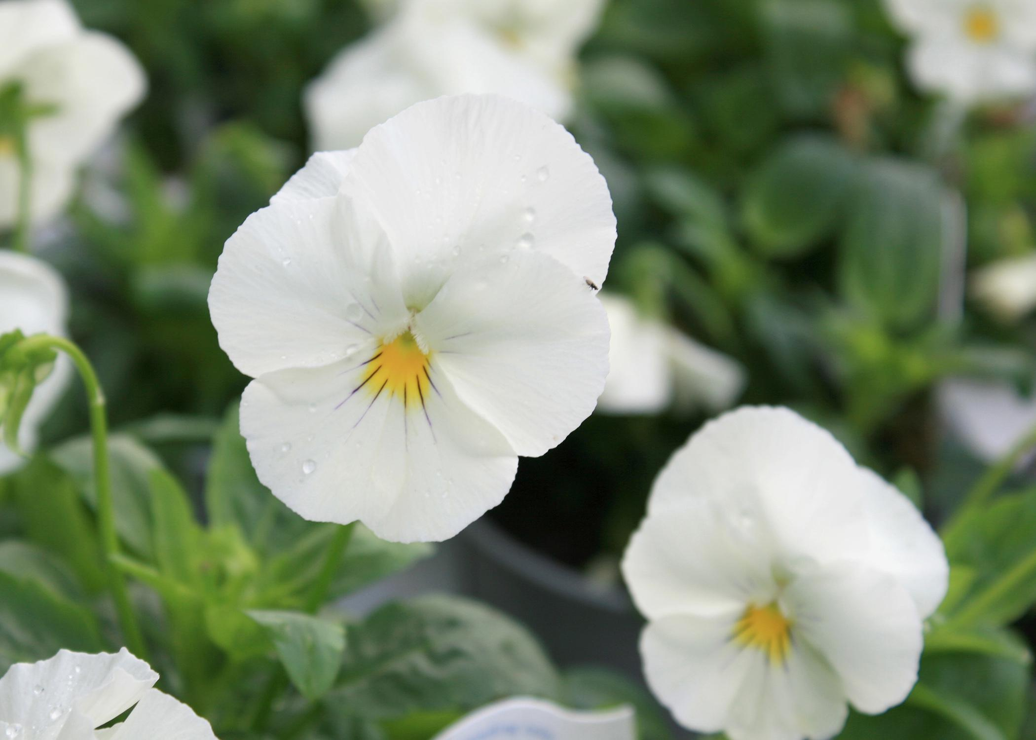 Cool Wave White trailing pansy is a pure-white flower that performs well in the cold of a Mississippi winter. Blooms do not survive a hard freeze, but the plant resumes flowering when temperatures moderate. (Photo by MSU Extension Service/Gary Bachman)