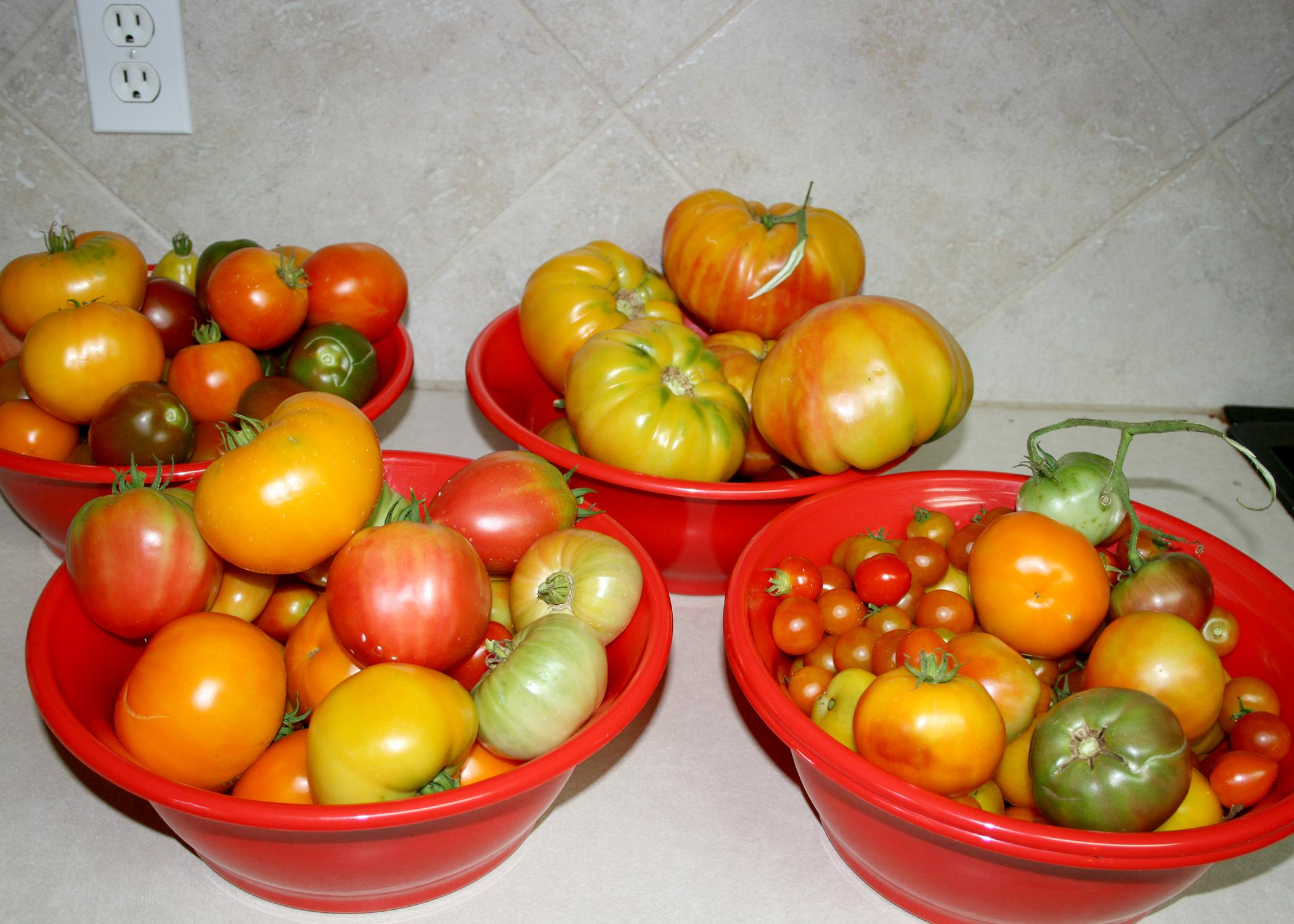 Heirloom tomatoes come in a variety of colors and irregular shapes, but their best characteristic is that they taste how most people think tomatoes are supposed to. (Photo by MSU Extension Service/Gary Bachman)