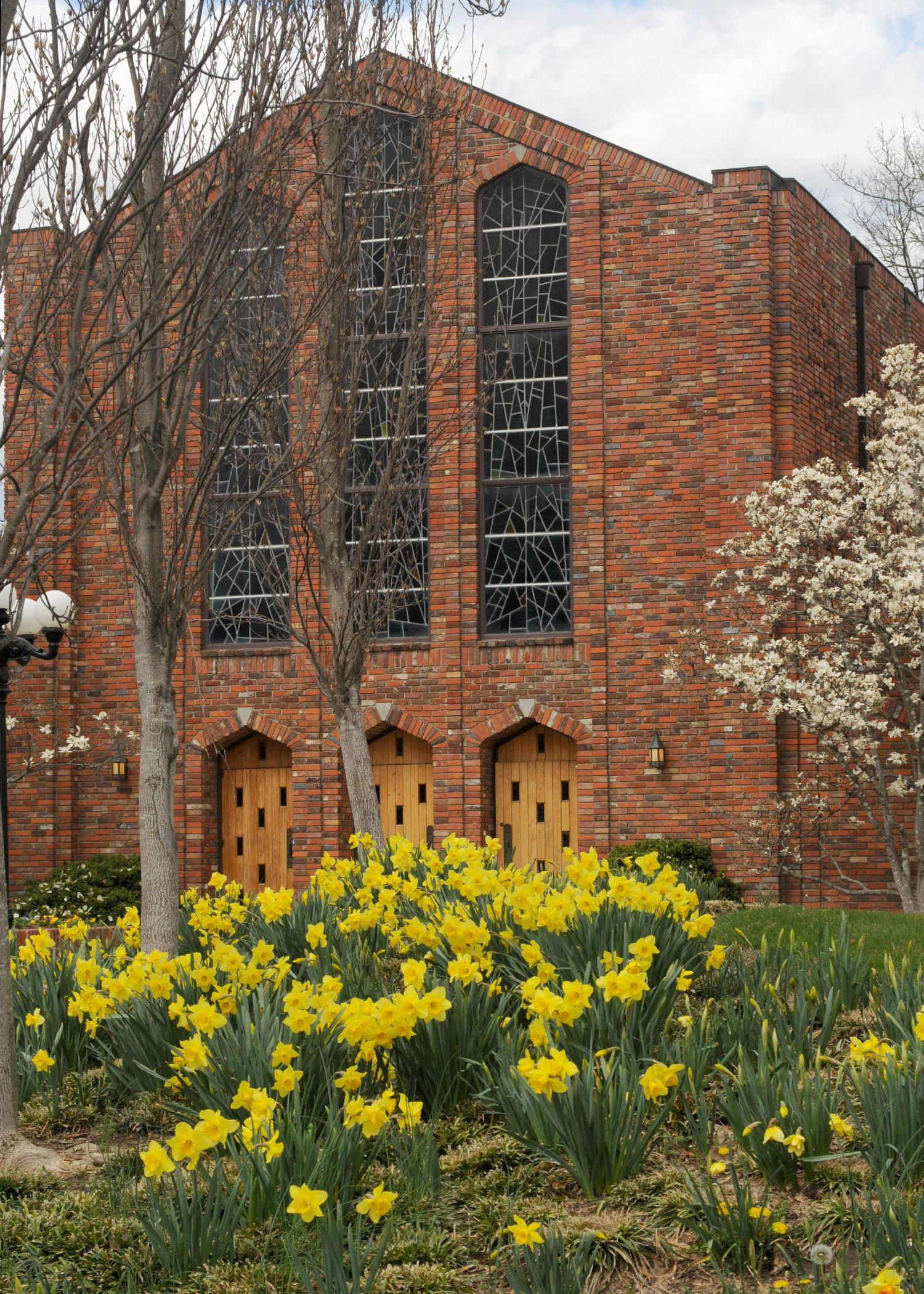 Spring-flowering daffodils brighten up the winter landscape at Mississippi State University's Chapel of Memories. (Photo by MSU Ag Communications/Kat Lawrence)