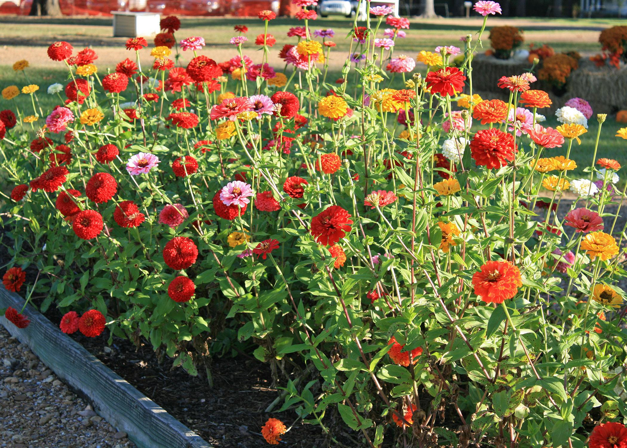 These Benary's Giant mix zinnias are must-haves for those wanting long-lasting cut flowers. Their height makes them perfect as a background in the summer flower bed, and they produce an abundant supply of beautiful flowers. (Photo by MSU Extension Service/Gary Bachman)
