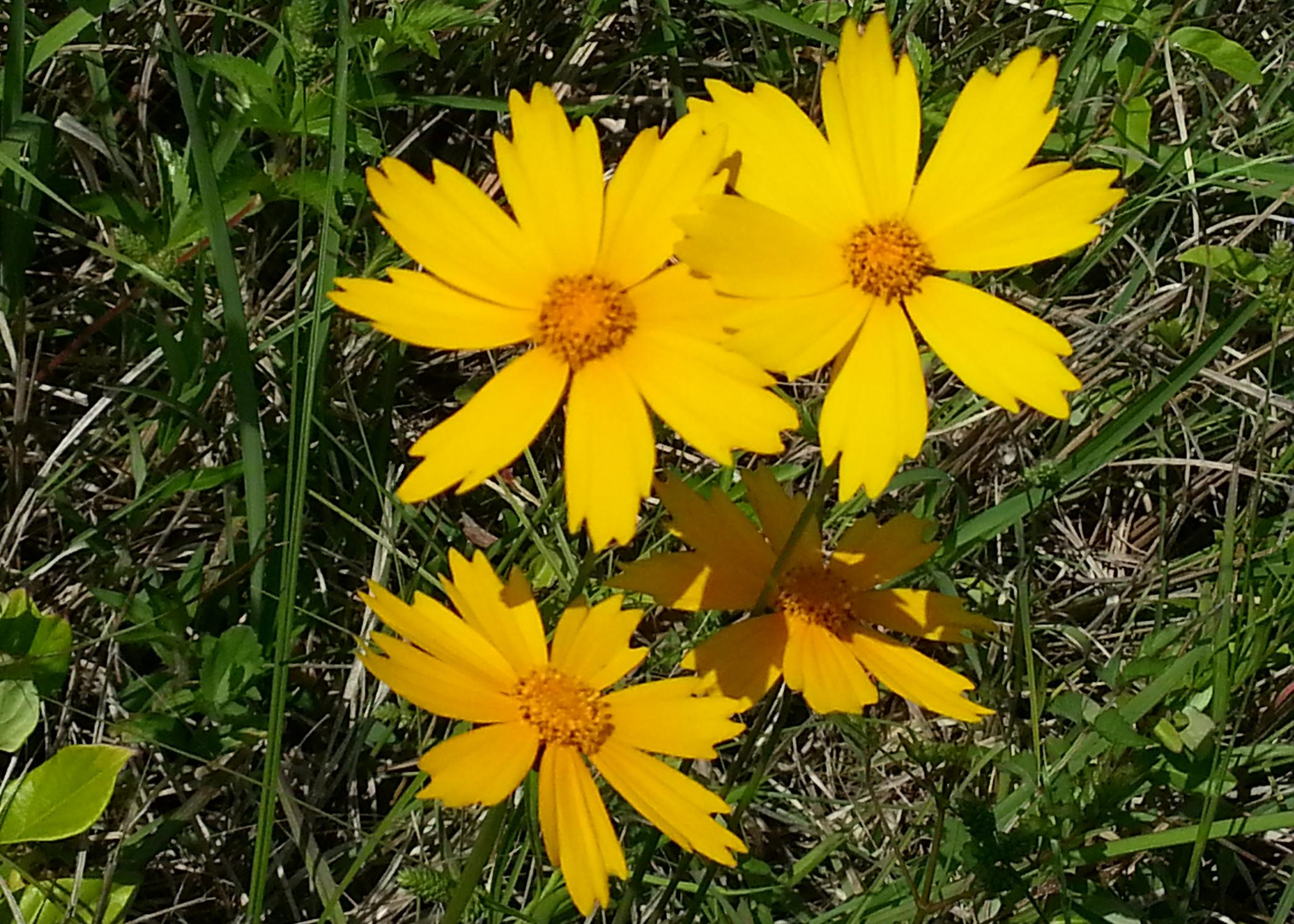 Coreopsis lanceolata is the state wildflower of Mississippi, and it grows frequently along the state's roadsides and in prairie areas. (Photo by MSU Extension Service/Gary Bachman)