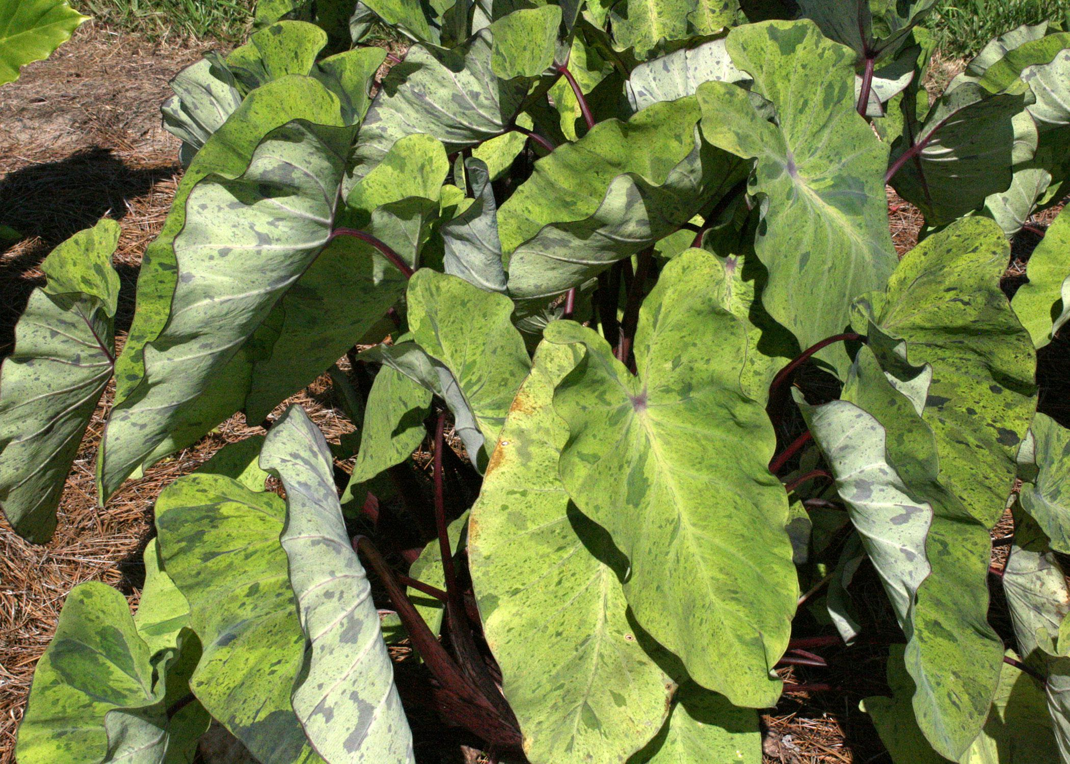 Colocasia Mojito adds a refreshing color splash to the garden with its medium-green leaves speckled with dark flecks of purple. (Photo by MSU Extension Service/Gary Bachman)