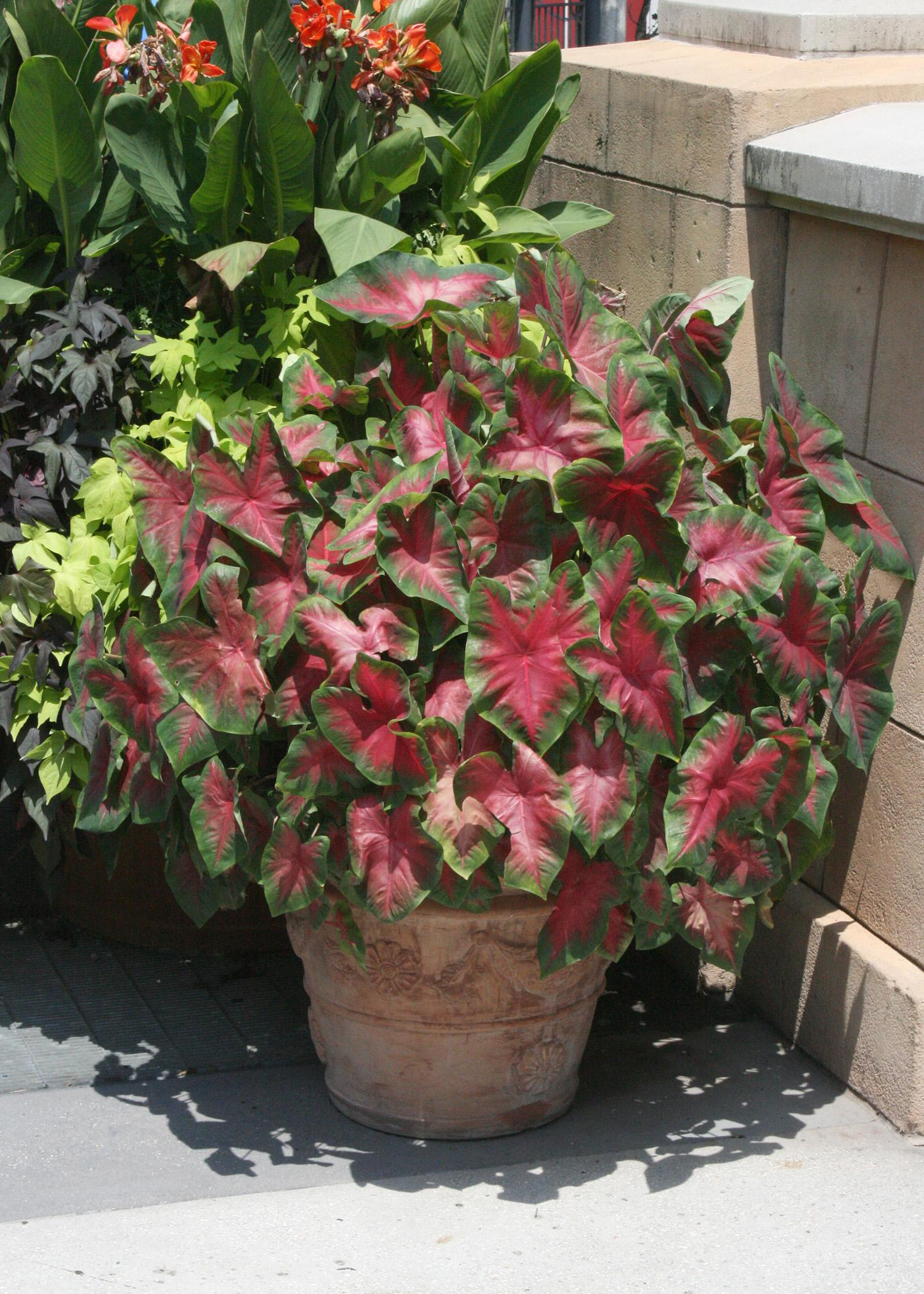 Caladiums are very versatile and tolerant of many growing styles, including these growing in a container in a sunny location. (Photo by MSU Extension Service/Gary Bachman)