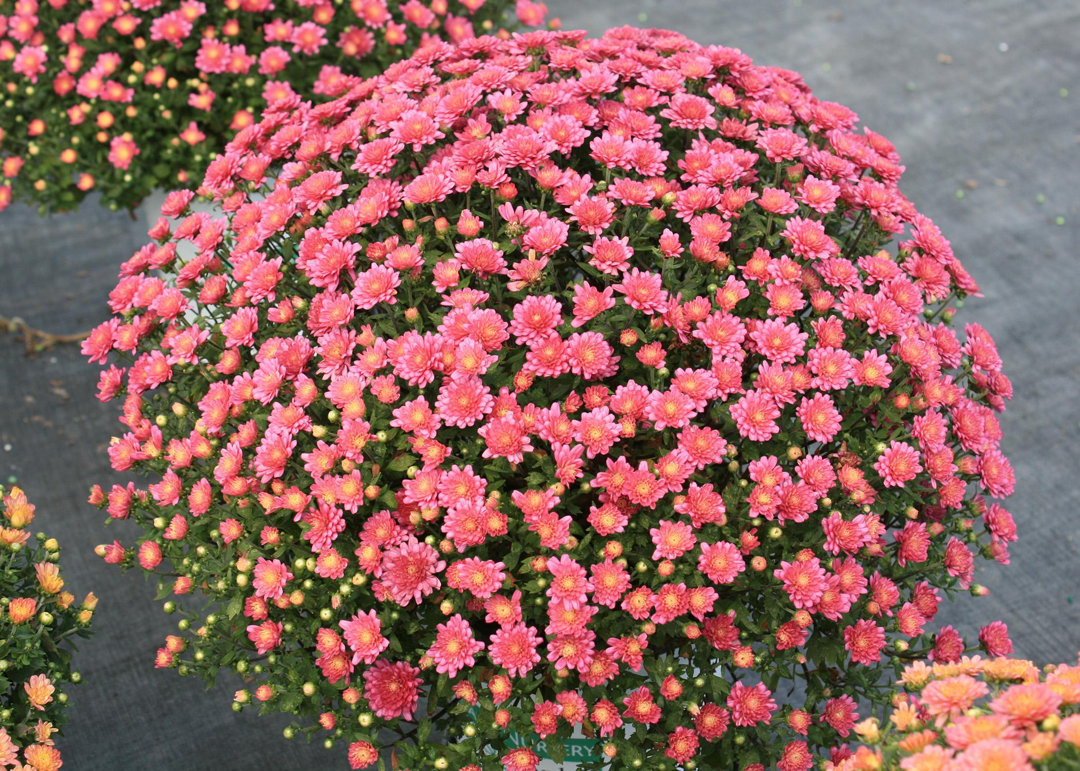The many warm colors of mums fit in almost any home color scheme. They have an immediate impact with their plentiful blooms. (Photo by MSU Extension Service/Gary Bachman)