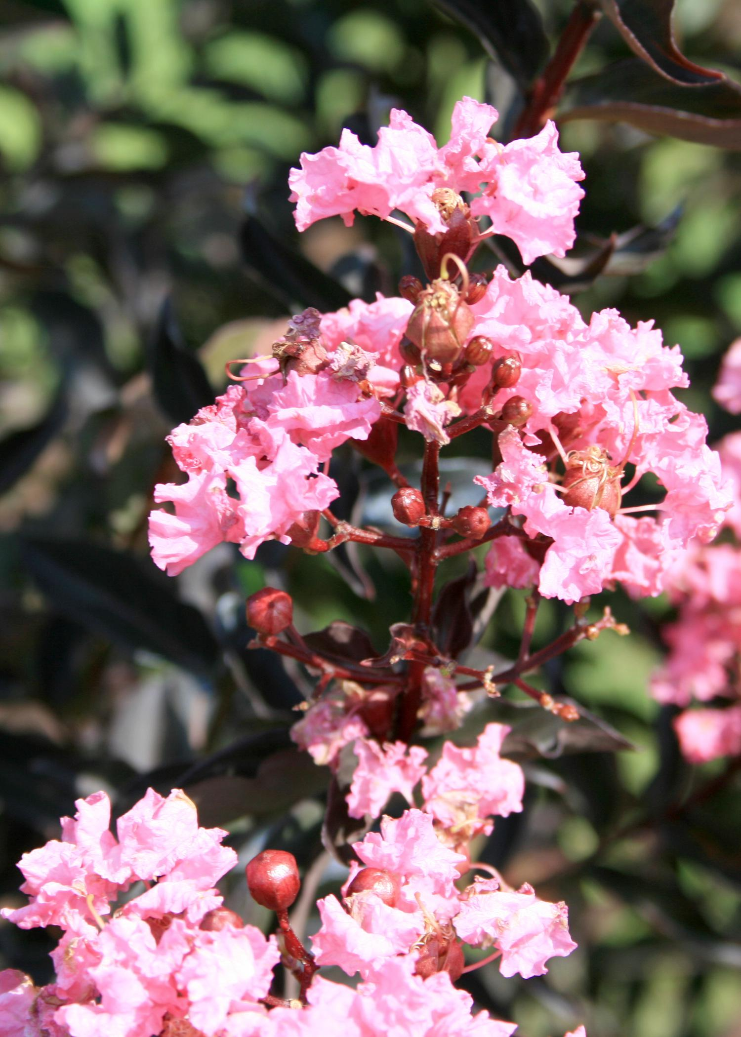 2015 Mississippi Medallion winner Delta Jazz crape myrtle, developed by Mississippi State University, has leaves that emerge a raspberry-maroon and then turn mahogany-brown, accenting large clusters of pink flowers in late summer. (Photo by MSU Extension Service/Gary Bachman)