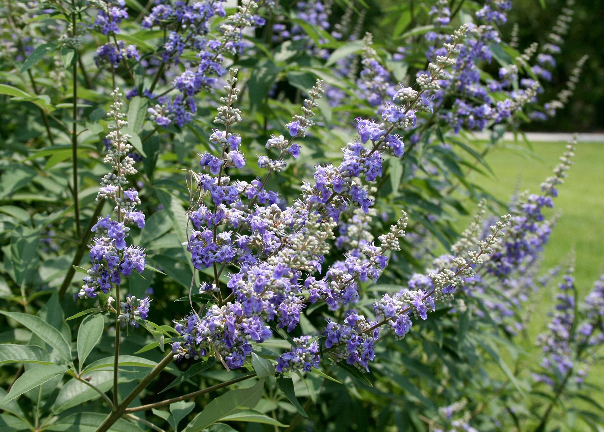 Beautiful purple flowers and tolerance for drought make Vitex an outstanding small tree to be grown in the full sun of Mississippi landscapes. (Photo by MSU Extension Service/Gary Bachman)