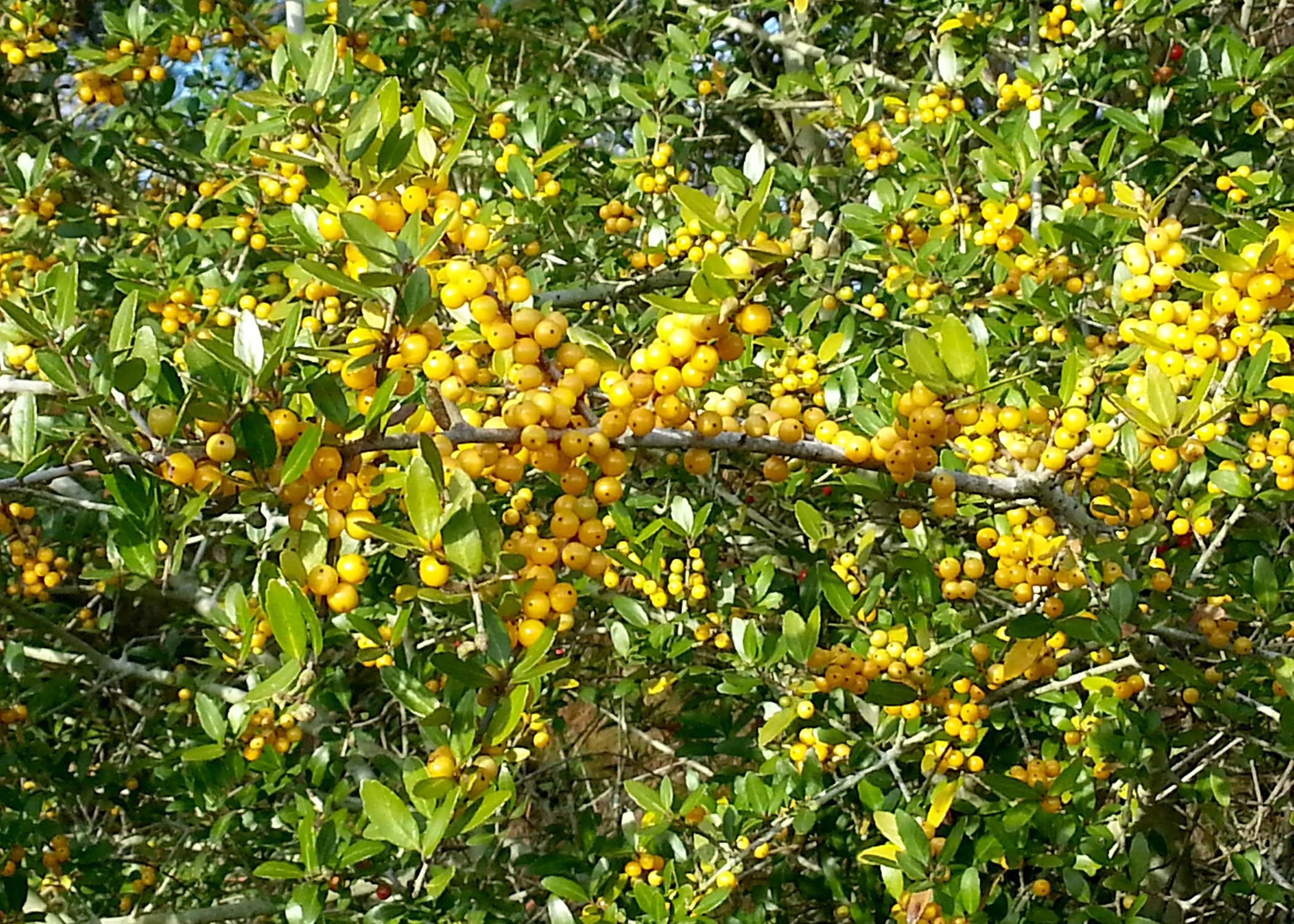 Although most Yaupon holly berries are red, a few commercially available selections have a mutation that produces yellow berries. (Photo by MSU Extension Service/Gary Bachman)