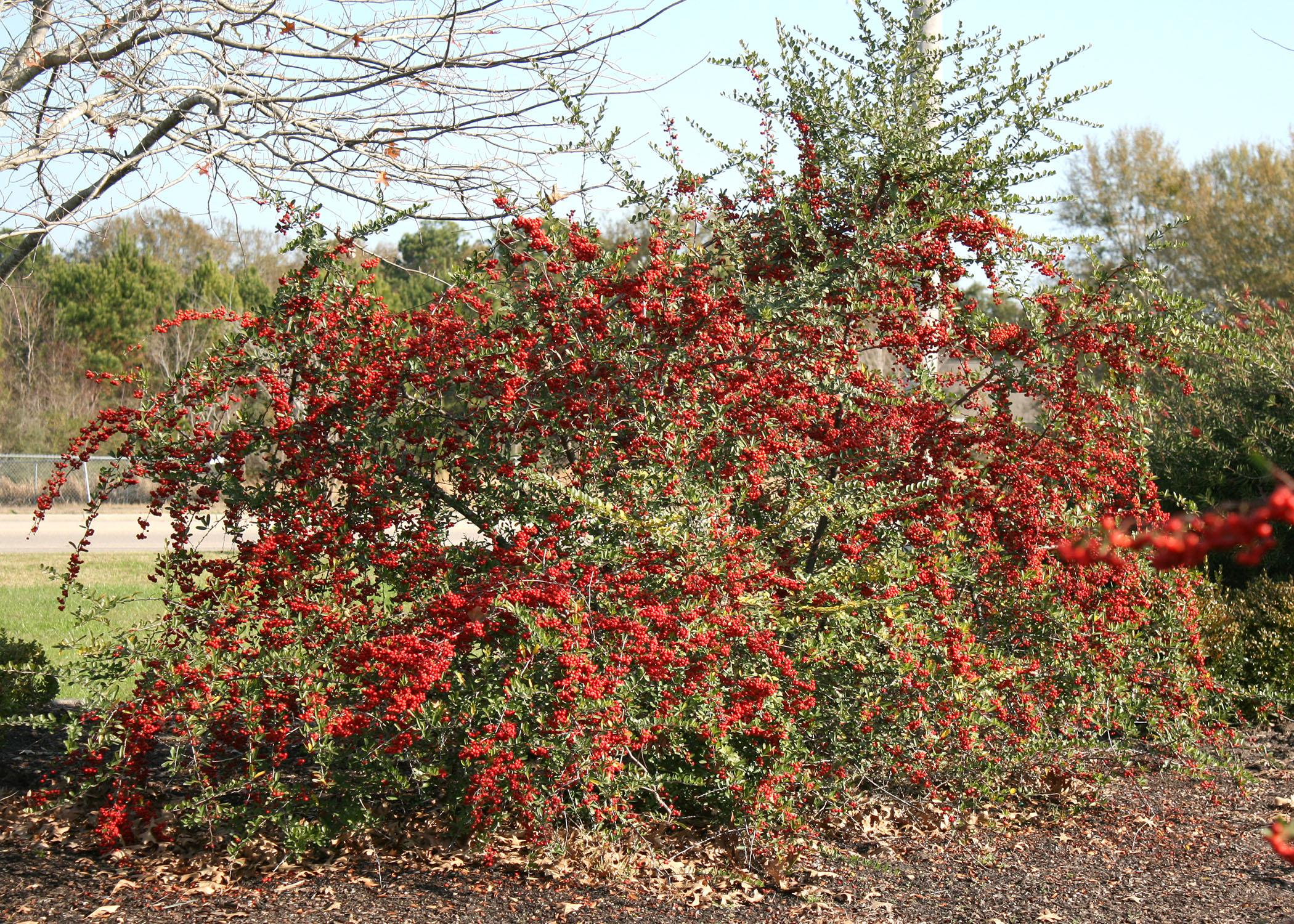The heavy fruit clusters of Pyracantha seem to drip off the branches, adding beauty and interest to any winter landscape. (Photo by MSU Extension Service/Gary Bachman)