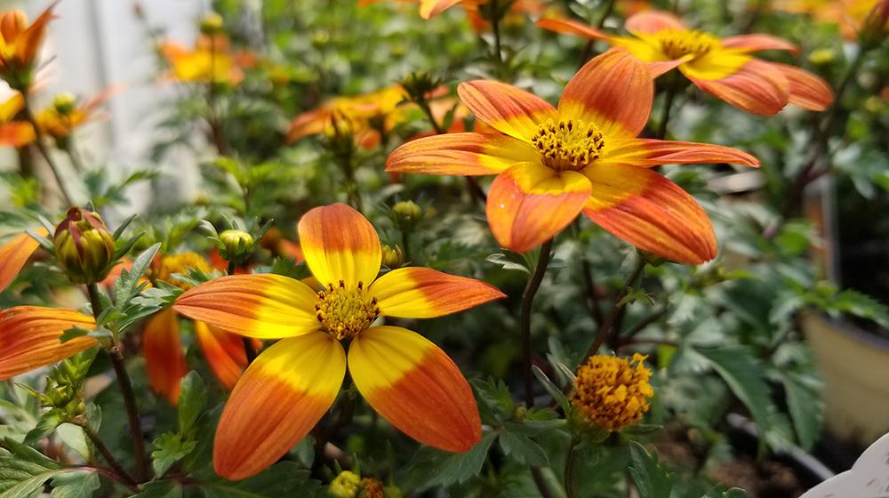 Beedance painted red bidens, each with 5 yellow petals with red tips.