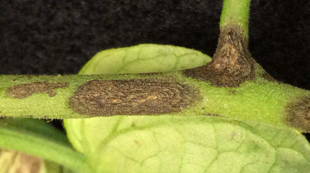 Early blight on a tomato stem.