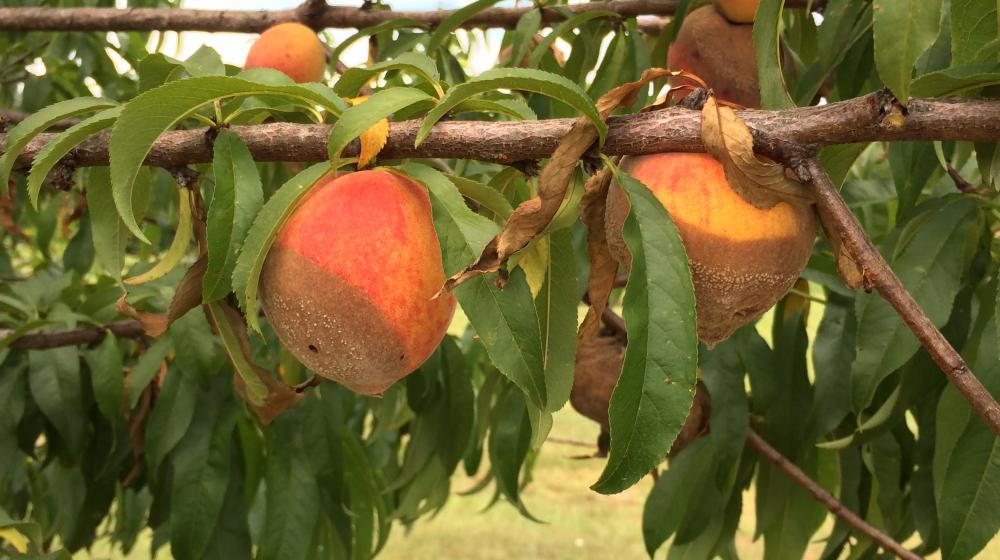 Brown rot on peaches.