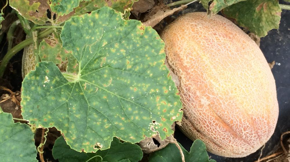 Downy mildew on cantaloupe.