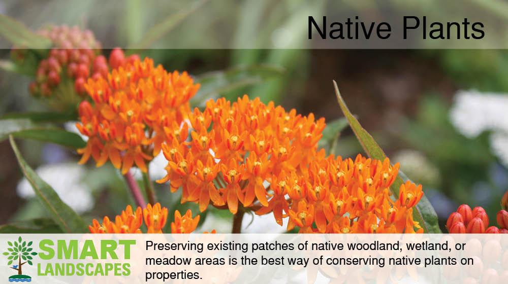 Flowering Butterfly Weed
