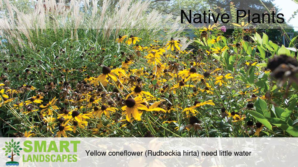 Photo of yellow coneflowers