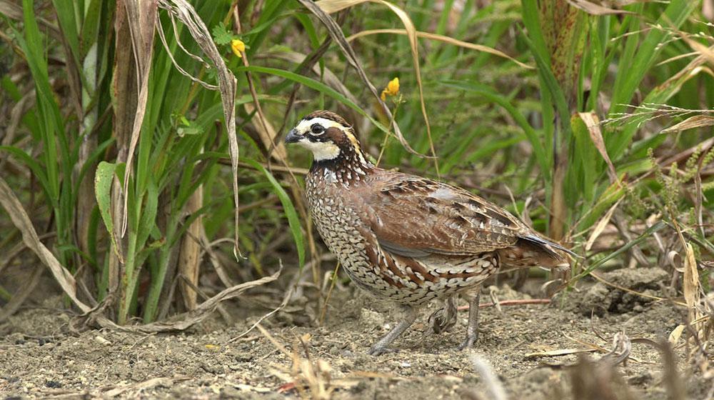 An image of a quail hen.