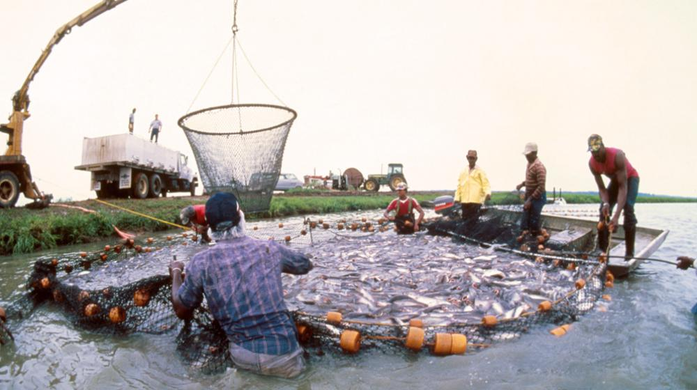 catfish harvest