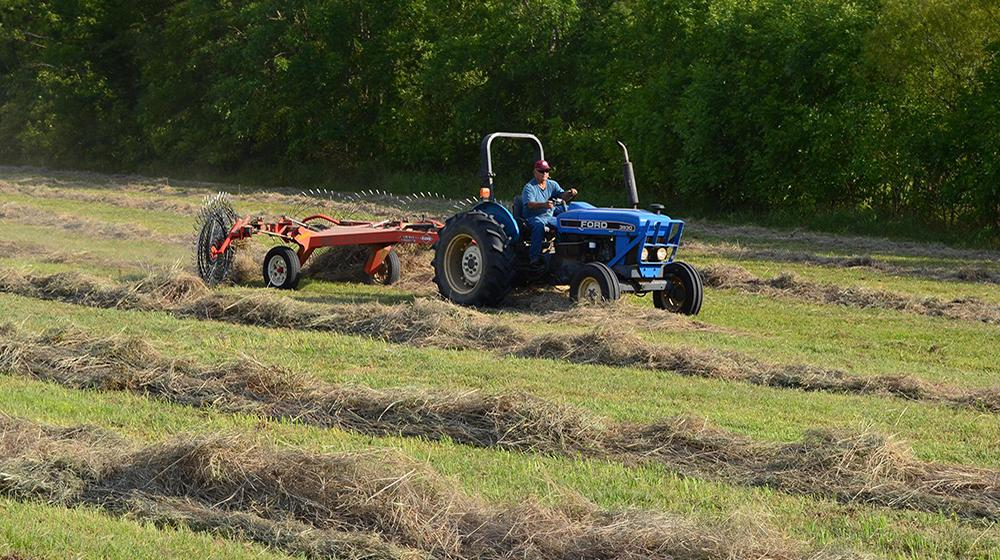 A blue tractor rakes hay in a field of cut hay.
