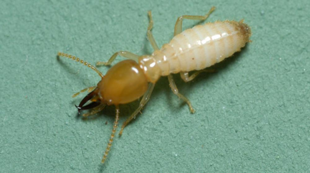 an image of a formosan termite